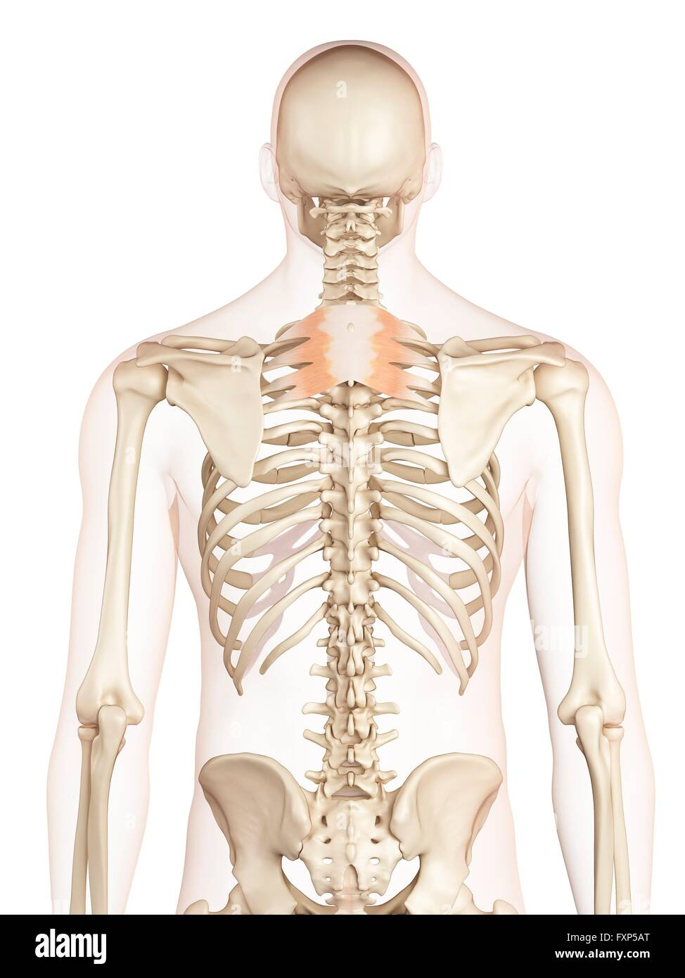 Muscles Bones Back Stockfotos & Muscles Bones Back Bilder - Seite 2 ...