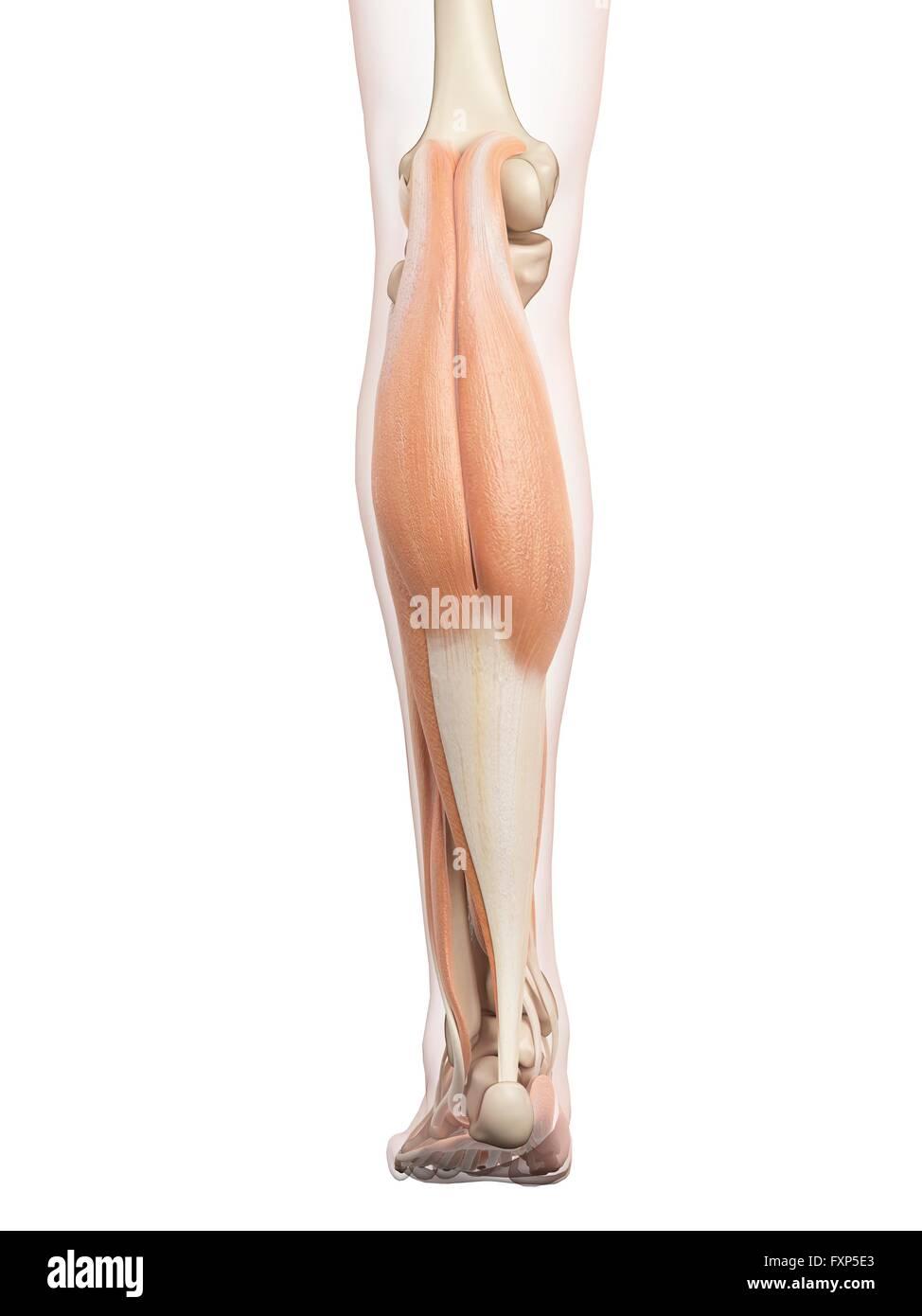 Erfreut Beinmuskel Anatomie Diagramm Ideen - Physiologie Von ...