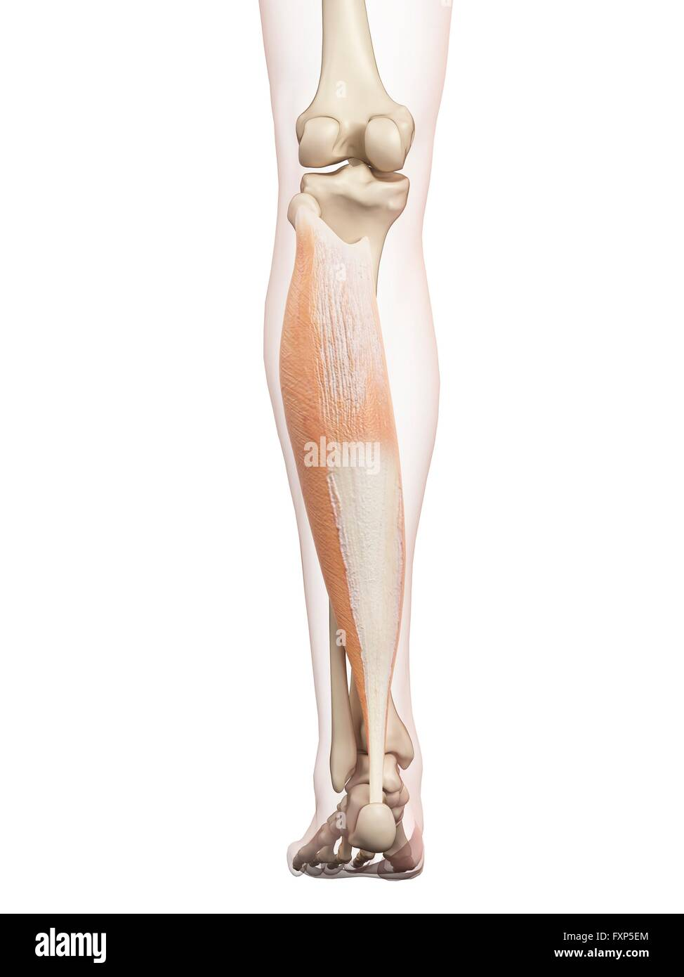 Wunderbar Beinmuskel Anatomie Diagramm Bilder - Anatomie Von ...