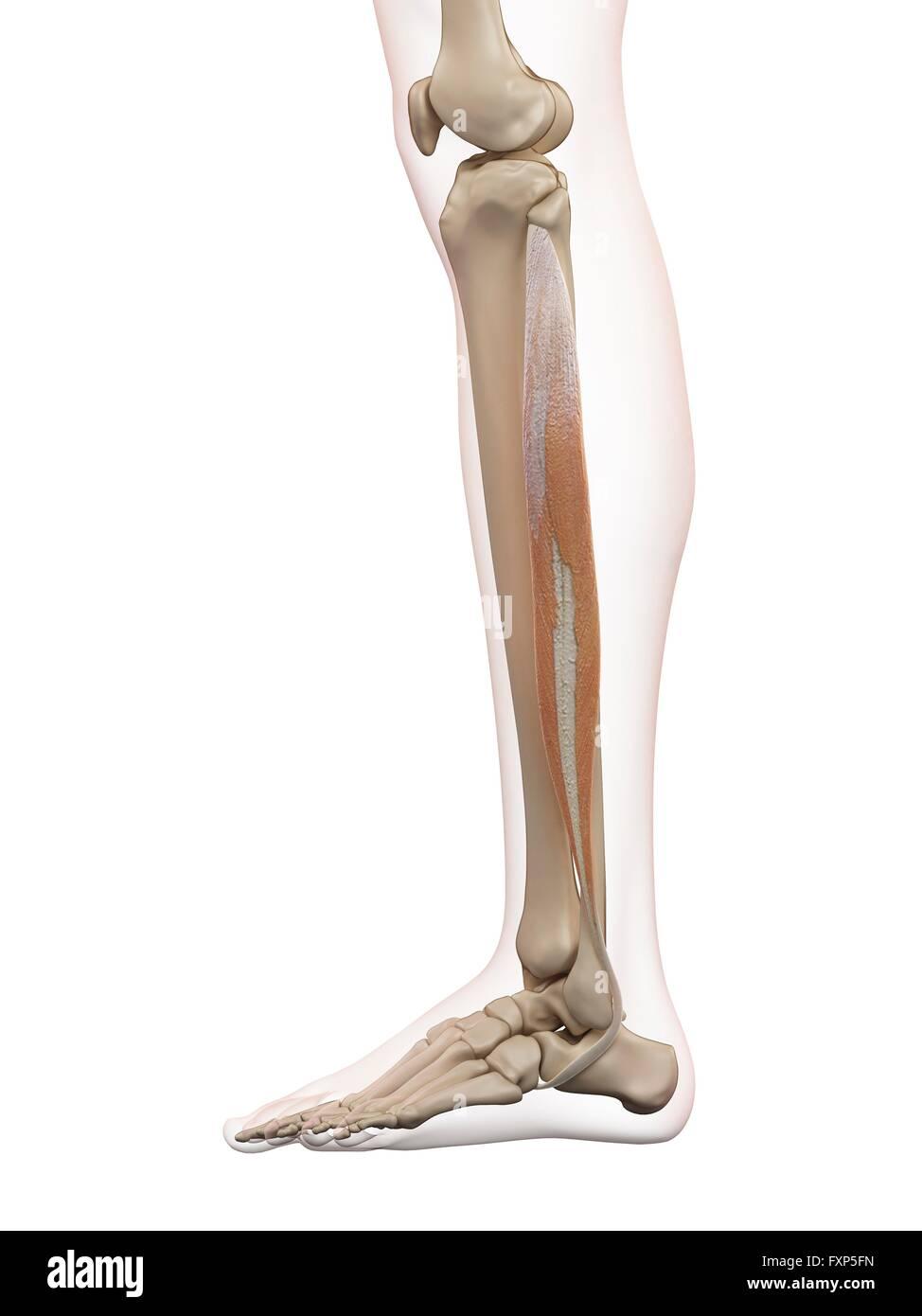 Menschliches Beinmuskeln, Computer Bild Stockfoto, Bild: 102520201 ...