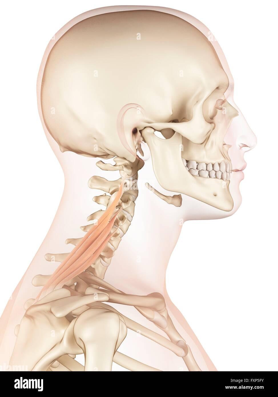 Human Skull Computer Artwork Stockfotos & Human Skull Computer ...