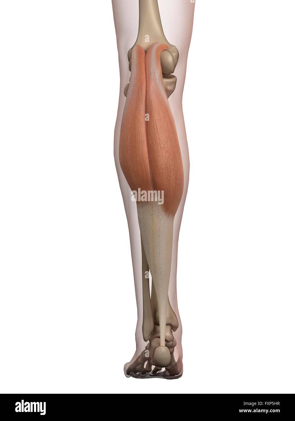 Ziemlich Wadenmuskel Diagramm Ideen - Anatomie Ideen - finotti.info