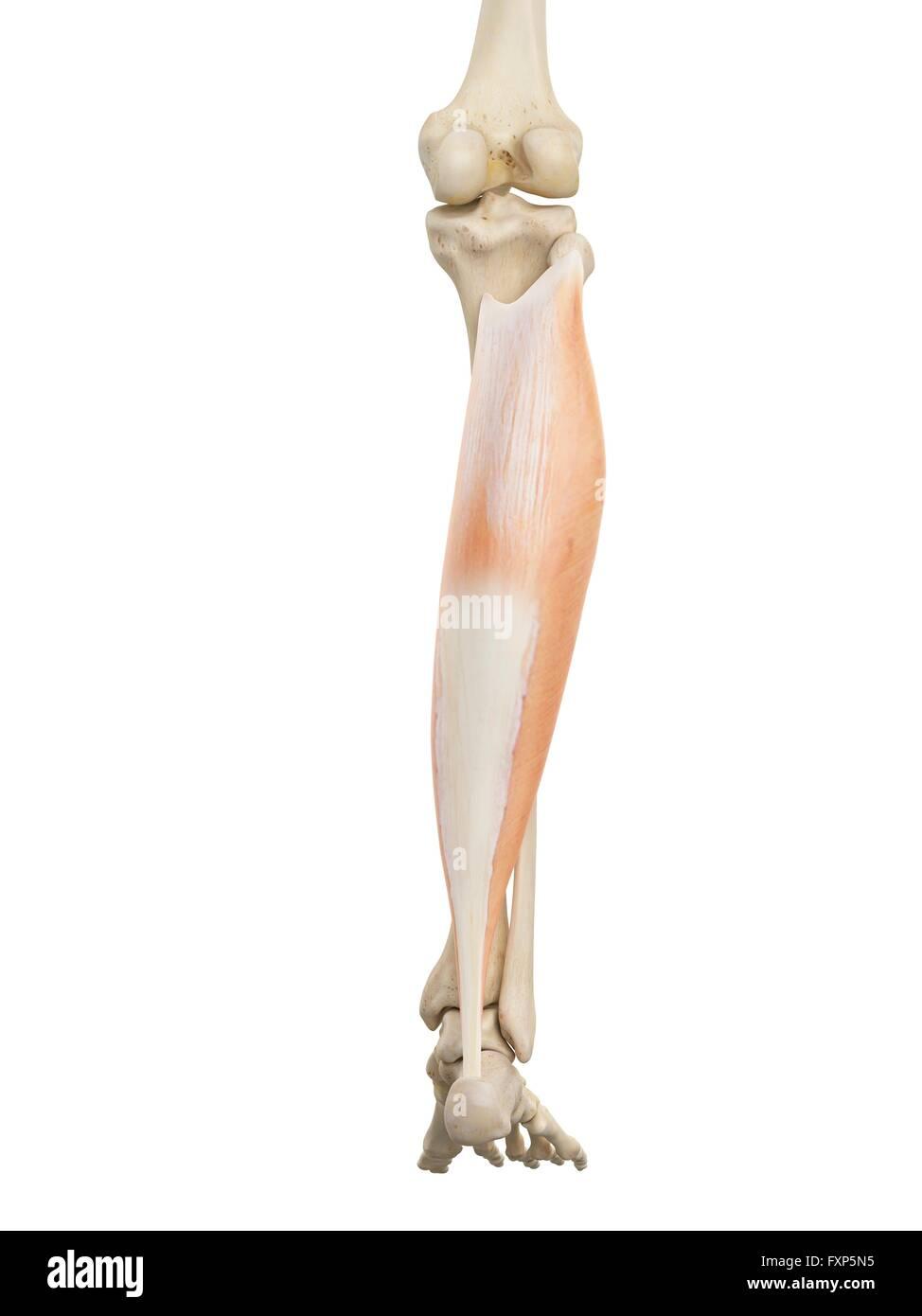 Niedlich Hinteres Bein Anatomie Bilder - Anatomie Ideen - finotti.info
