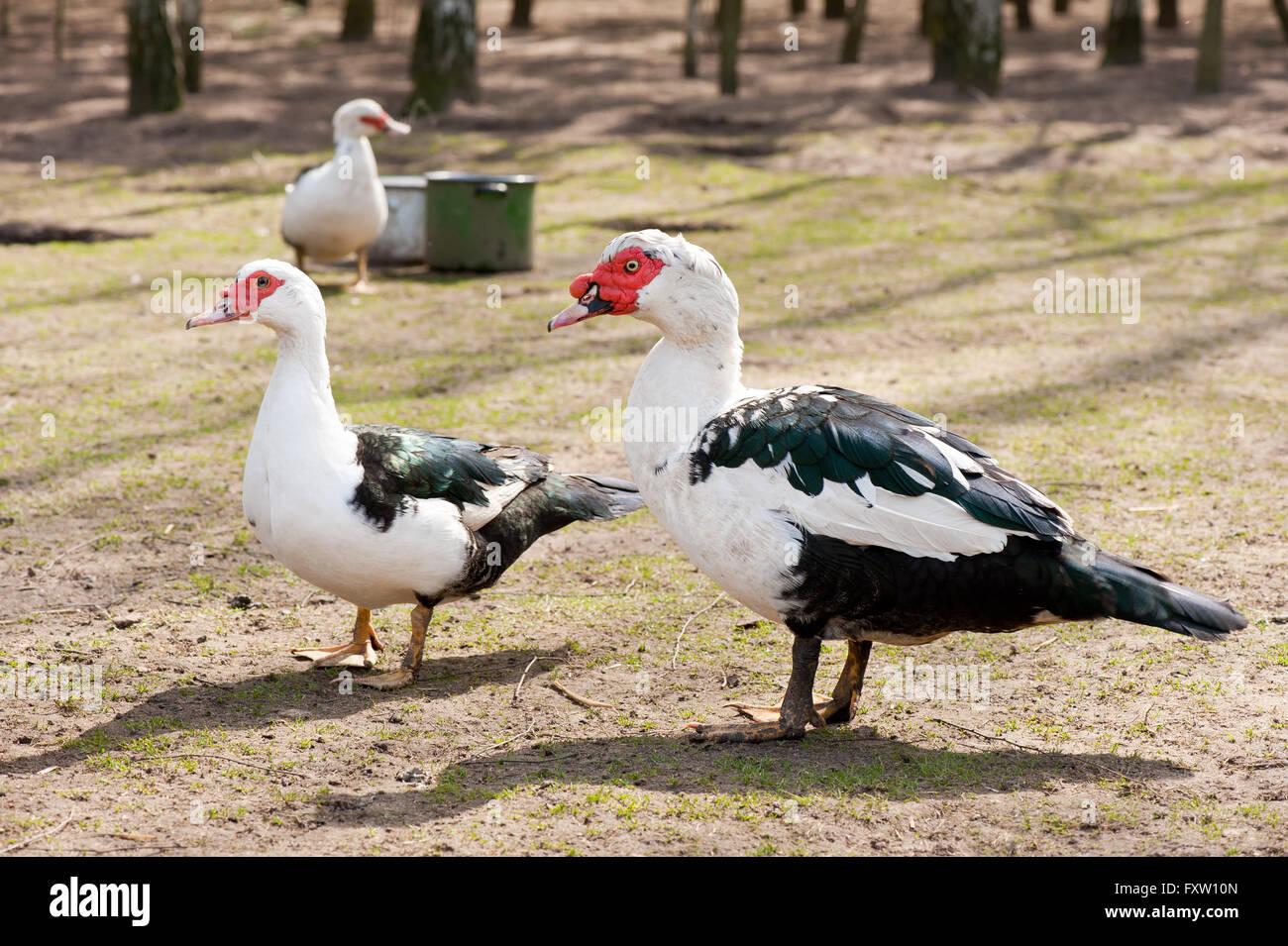 Barbarie Ente Kaufen