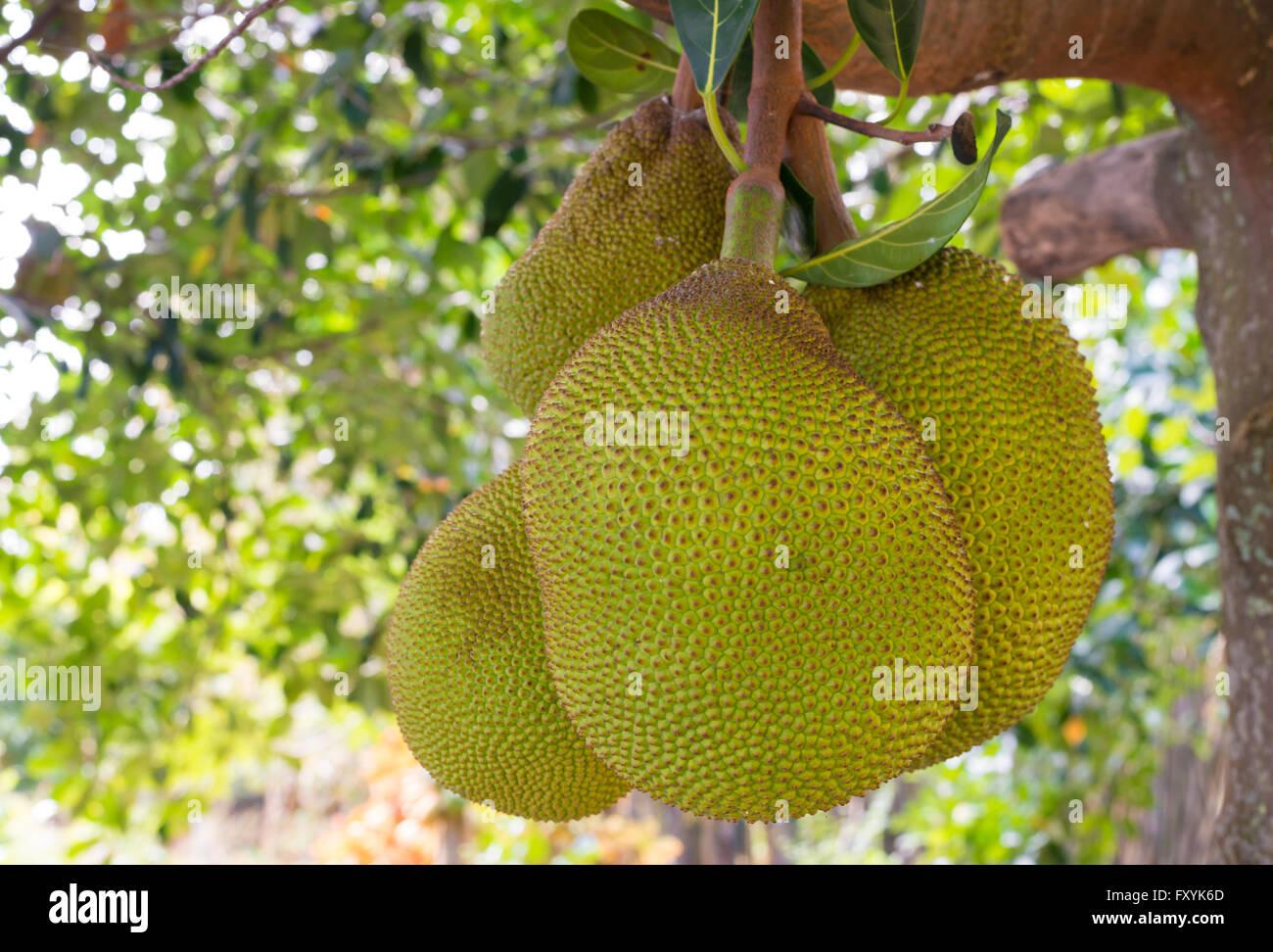Nahaufnahme eines Clusters Brotfrucht hängen von einem Baum auf Maui, Hawaii. Stockbild