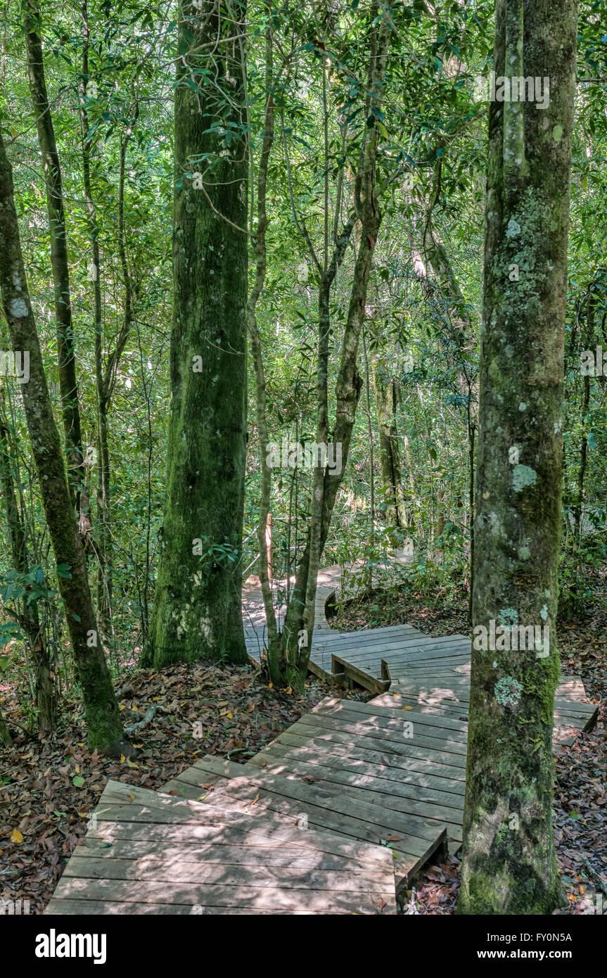 Treppen auf der Spur, der 1000 Jahre alten Yellowwood-Baum im Tsitsikama Wald in der Nähe von Storms River in der Provinz Eastern Cape Stockfoto