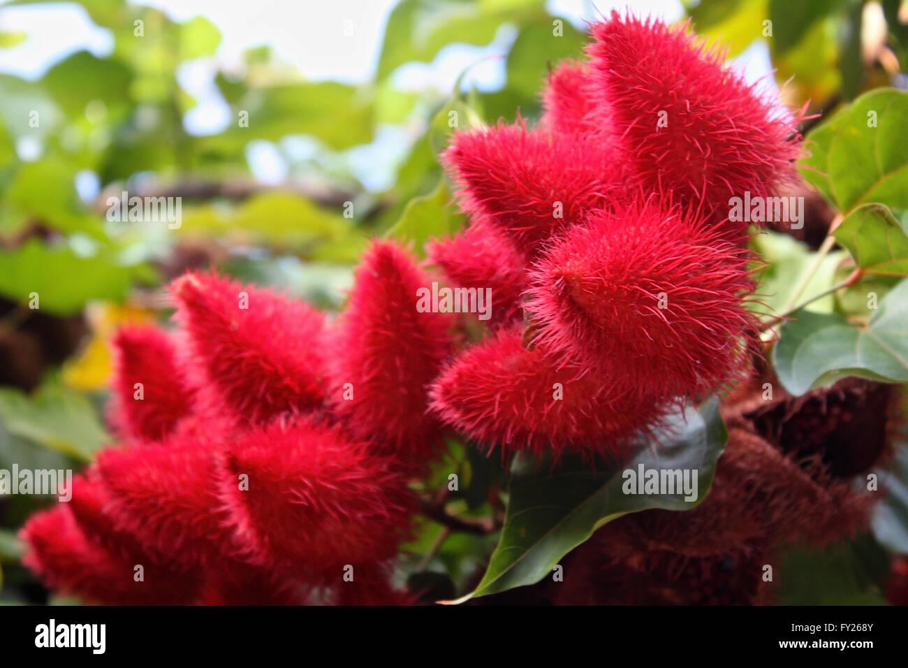 rote behaarte exotische Früchte, Thailand, Südostasien Stockbild
