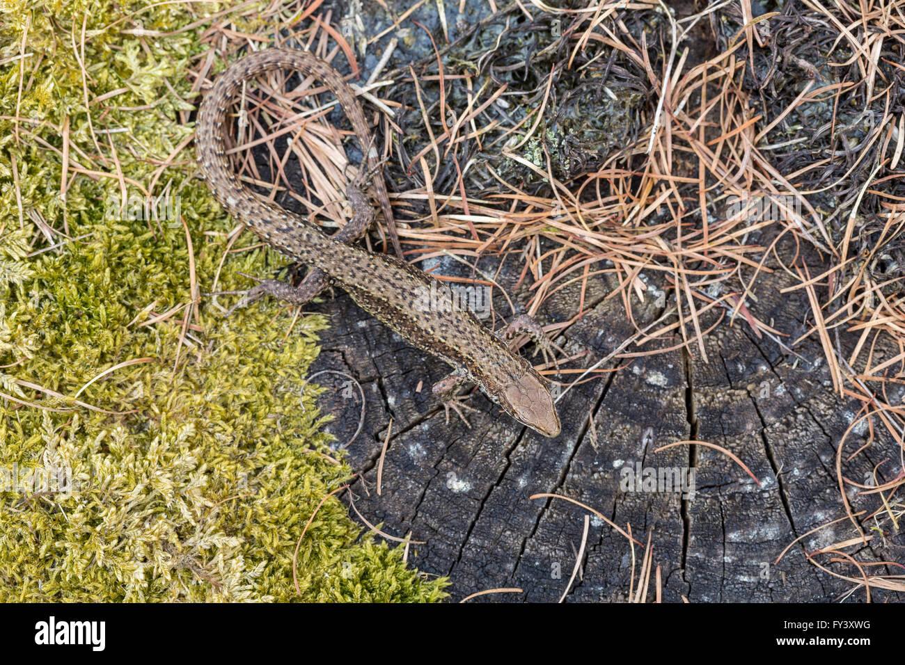 Gemeinsame Eidechse oder lebendgebärend Eidechse, Zootoca Vivipara (vormals Lacerta Vivipara), Männlich, Gloucestershire, Stockfoto