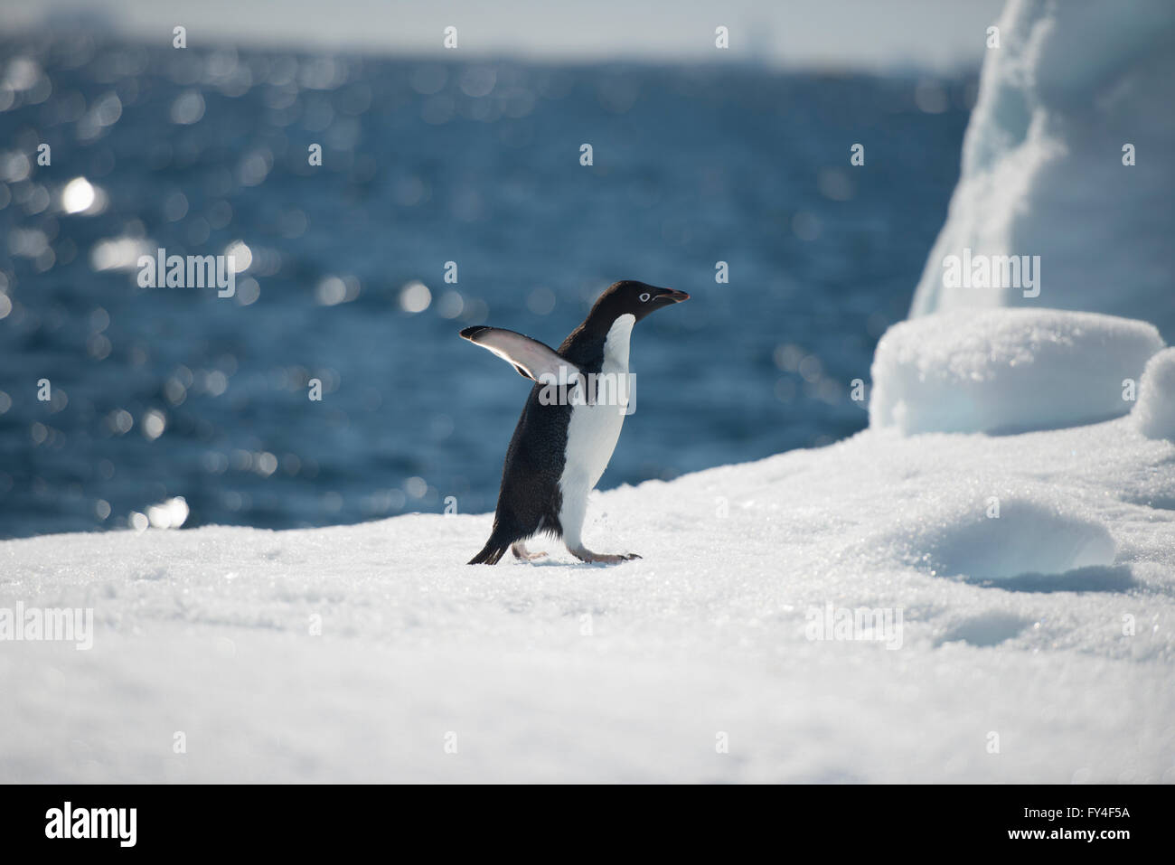 Adelie Penguin Stockbild