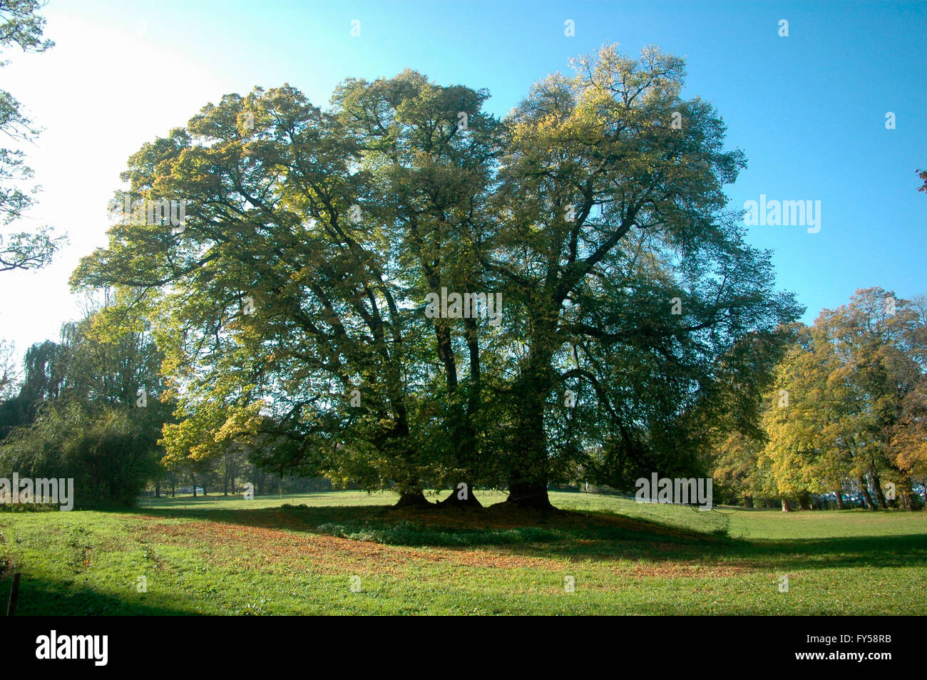 Baum, Tutzing, Bayern. Stockbild