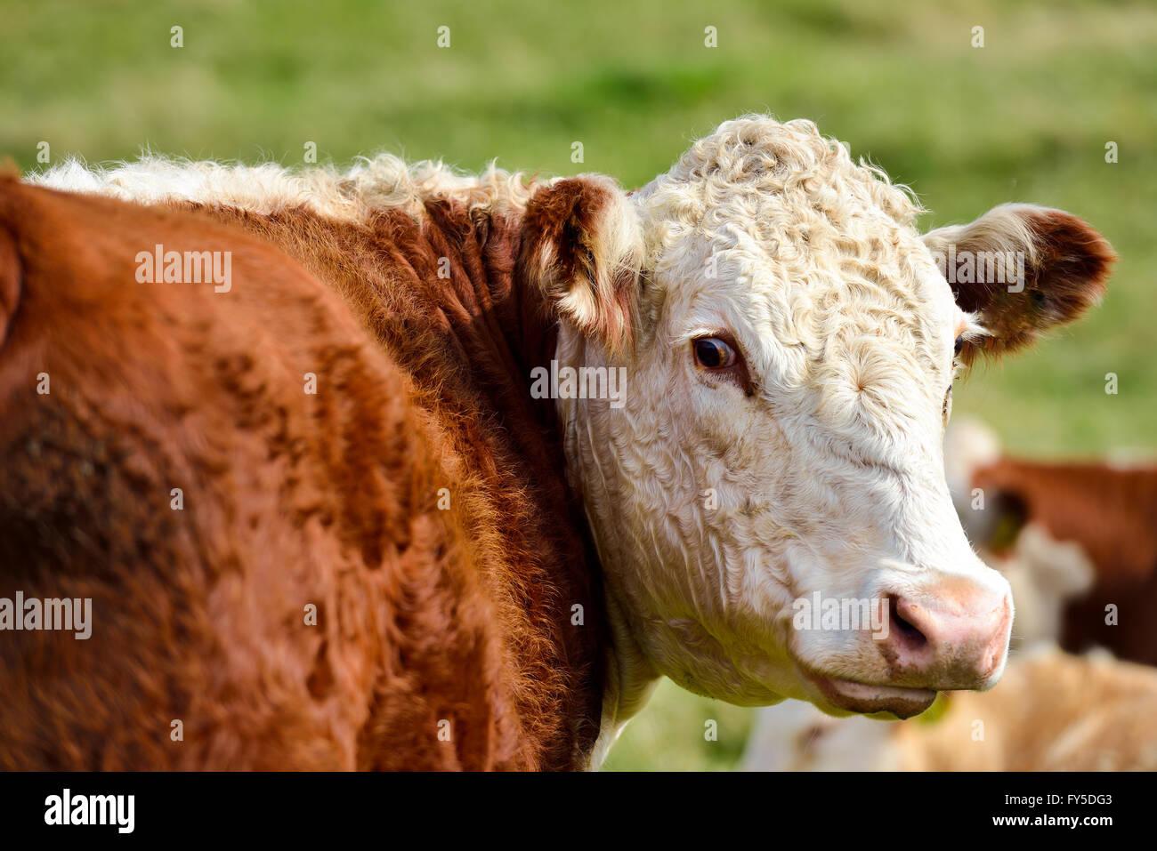 Eine Kuh sieht sich um. Stockbild