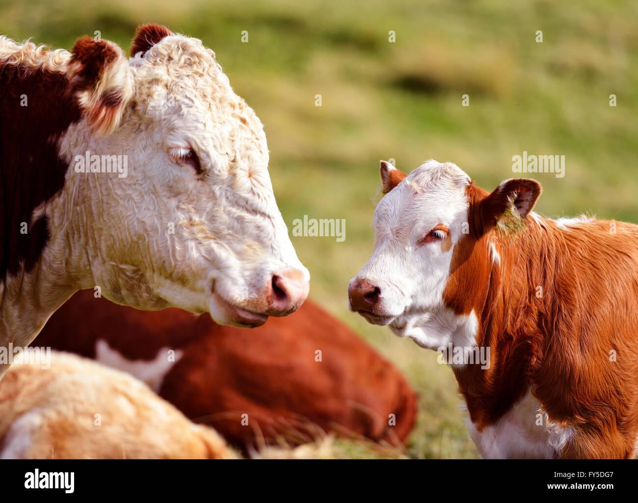 Kuh und Kalb sehen einander an. Stockbild