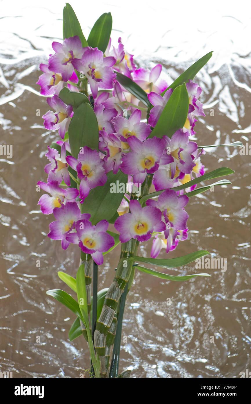 Edle dendrobium dendrobium nobile eine rosa bl te kultiviert orchidee mit pseudobulben - Epiphyten zimmerpflanze ...