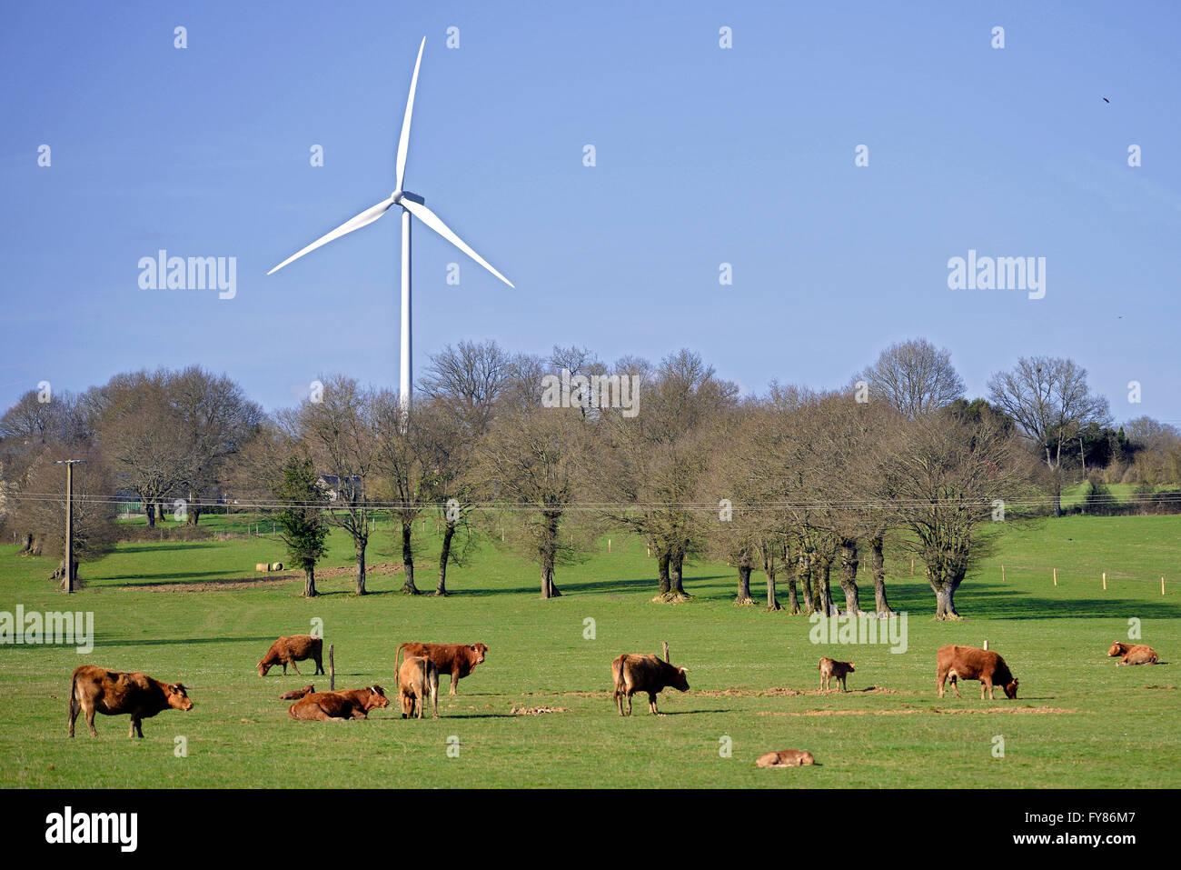 Braune Kühe und Kälber mit einer Windkraftanlage in Frankreich, Sarthe Abteilung Stockbild