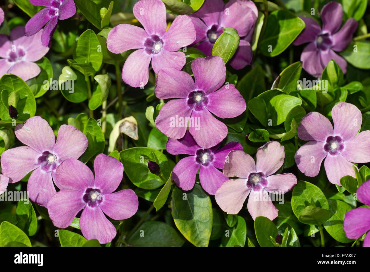 Frühlingsblumen von Boden Bedeckung Sub-Strauch, Vinca minor 'Atropurpurea' Stockbild