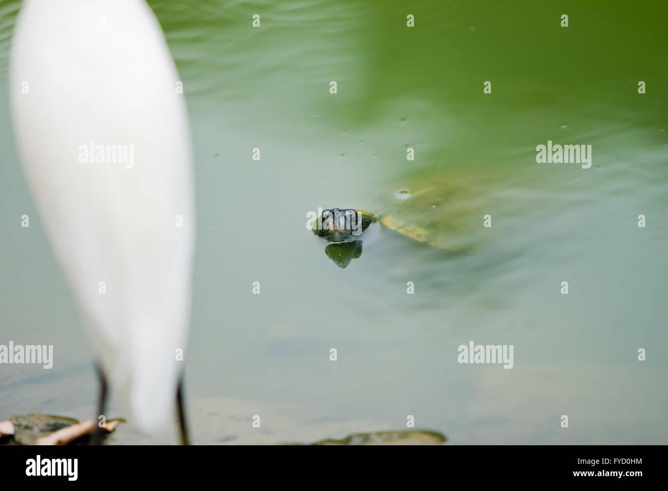 Eine Schildkröte im Sumpf konfrontieren einen Vogel auf dem land Stockbild