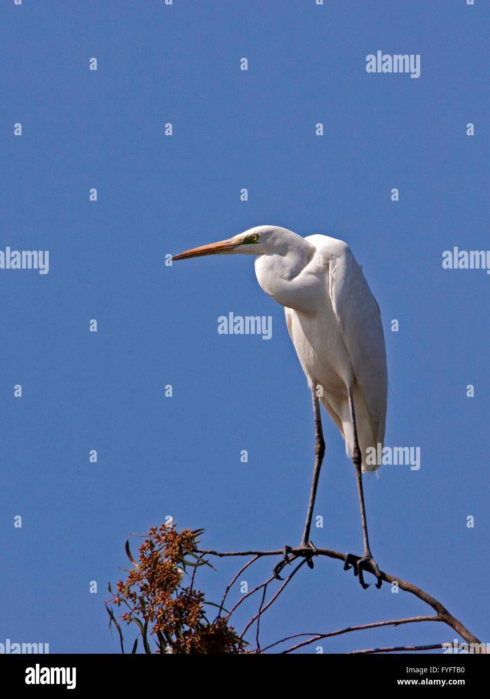 Große Silberreiher (Casmerodius Albus oder Ardea Alba) Hulla Tal, Israel Stockbild