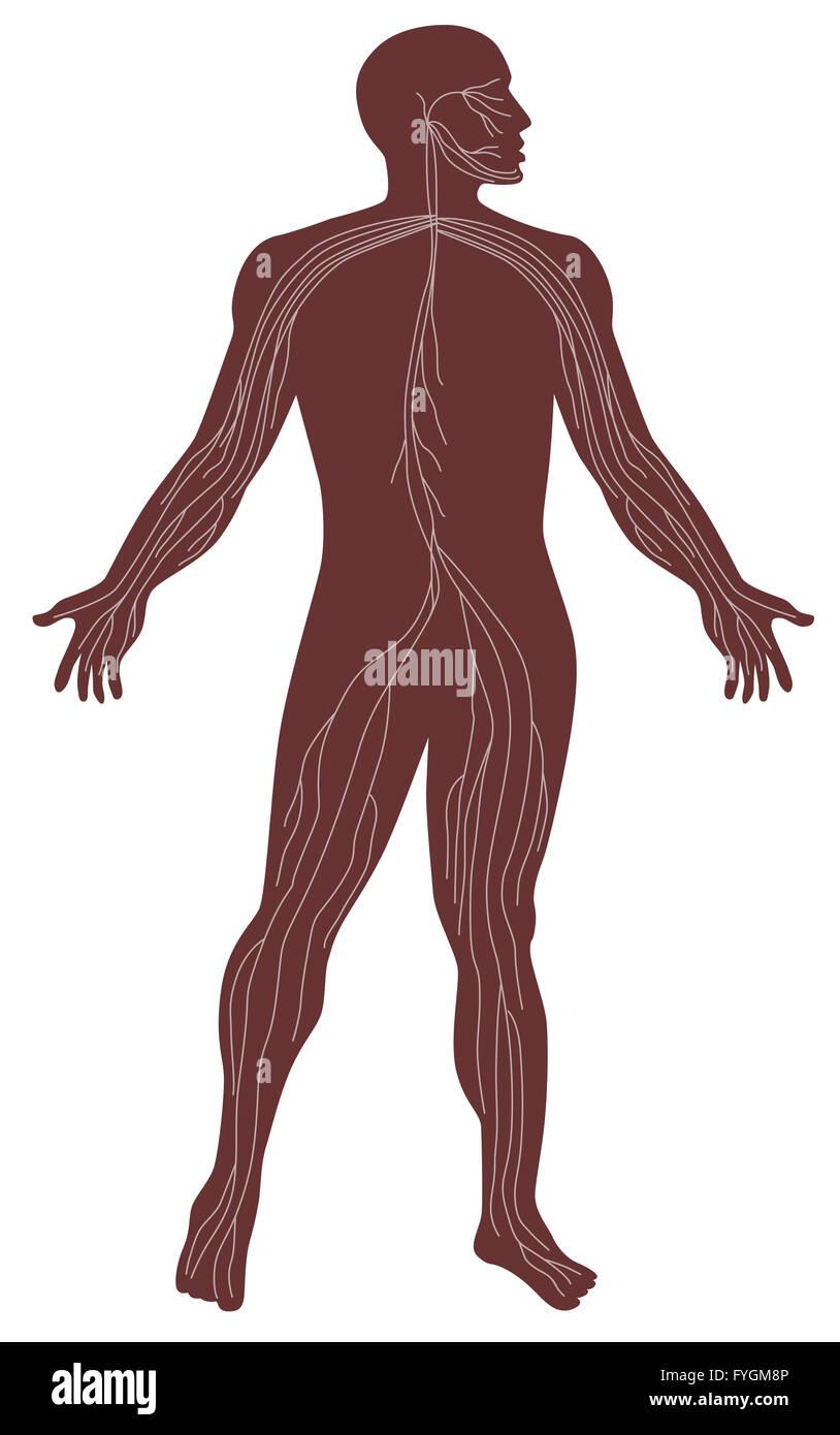 Männliche menschliche Anatomie des Nervensystems Stockfoto, Bild ...