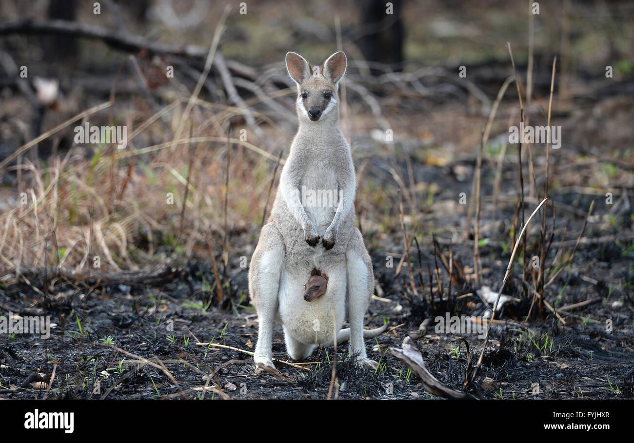 Eine Whiptail Wallaby, macropus Parryi, Känguruh mit Baby Joey in ihrer Tasche stand in letzter Zeit australische Stockbild