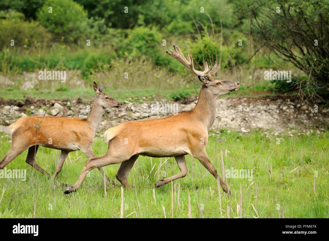 Altai-Hirsche in ihrer natürlichen Umgebung Stockbild