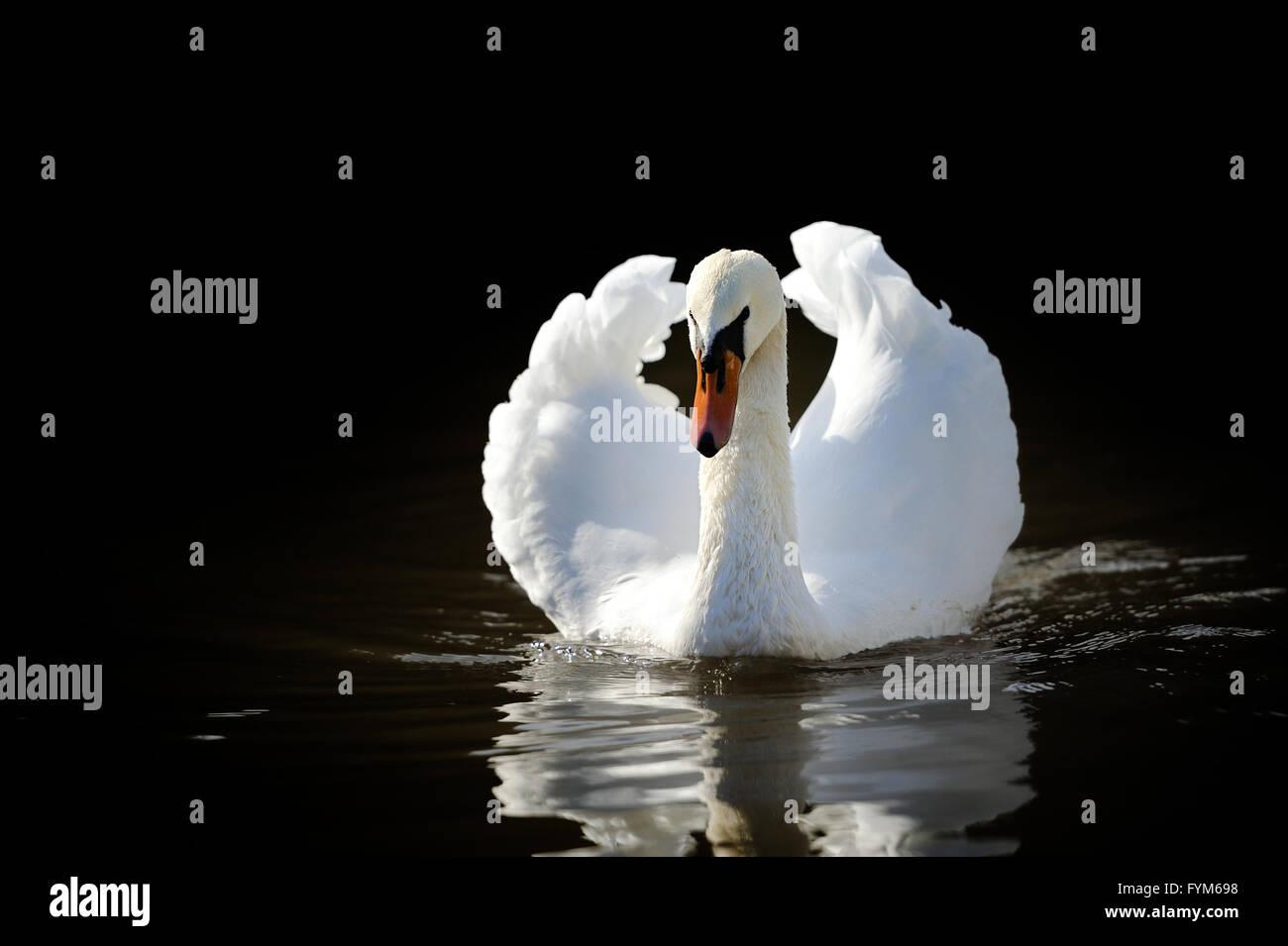 Swan Stockbild