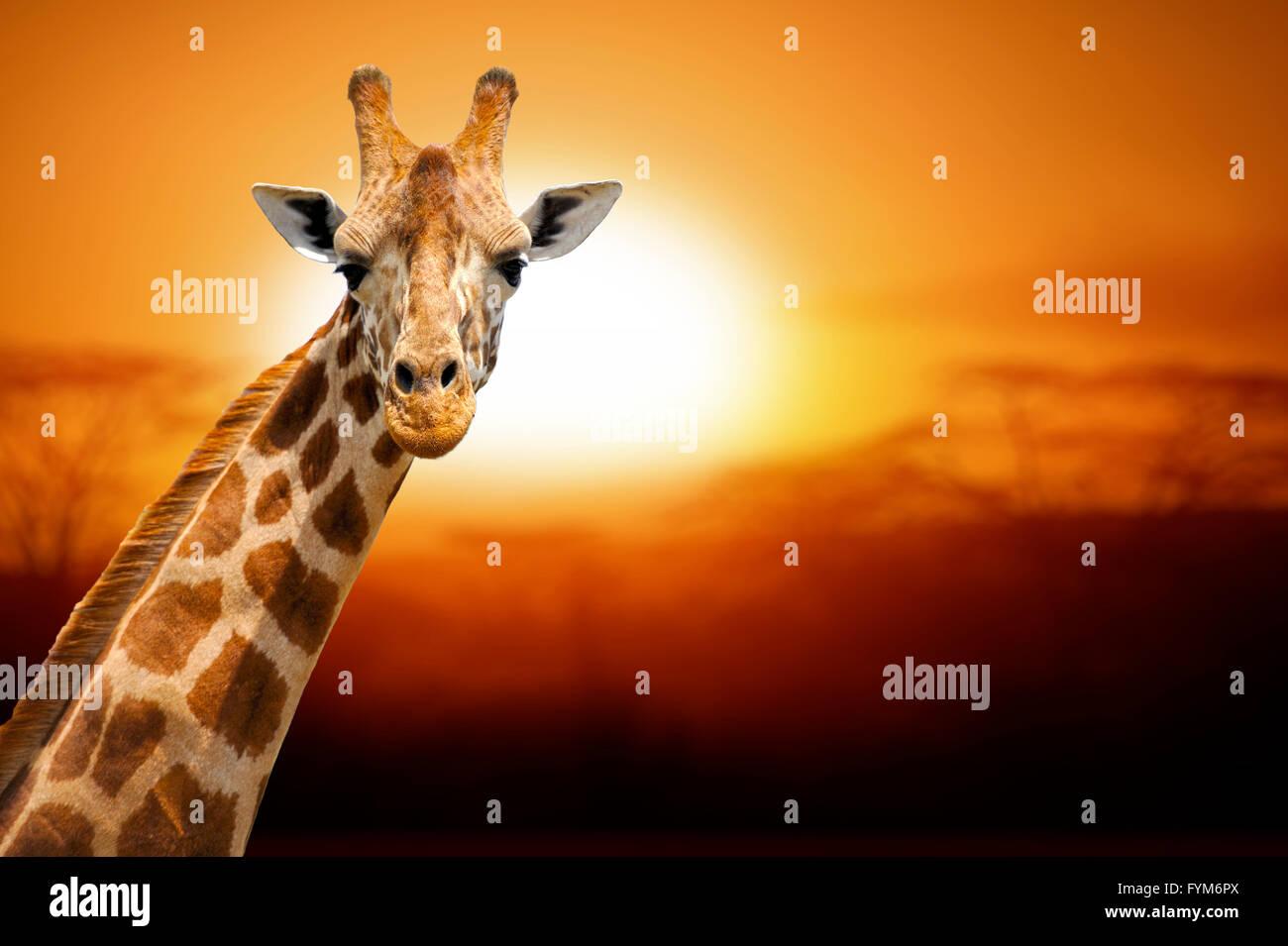 Giraffe auf Sonnenuntergang, Amboseli National park Kenia Stockfoto