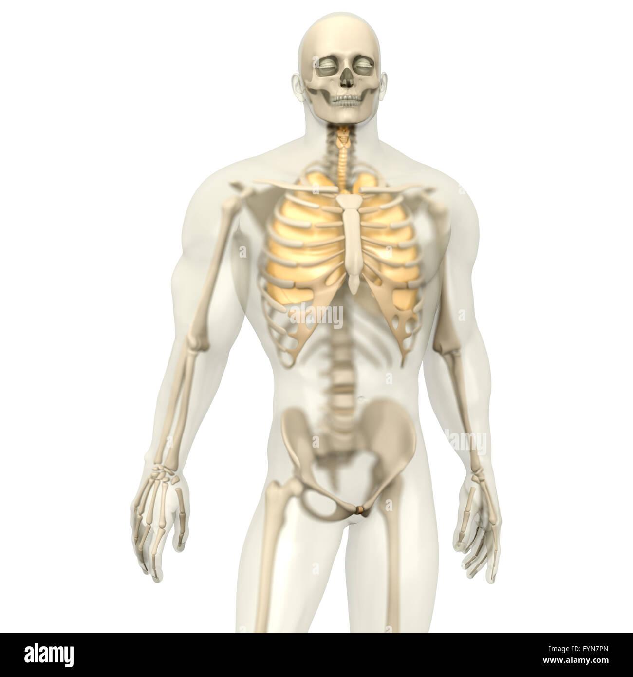 Charmant Anatomie Nasenseptums Bilder - Anatomie Von Menschlichen ...