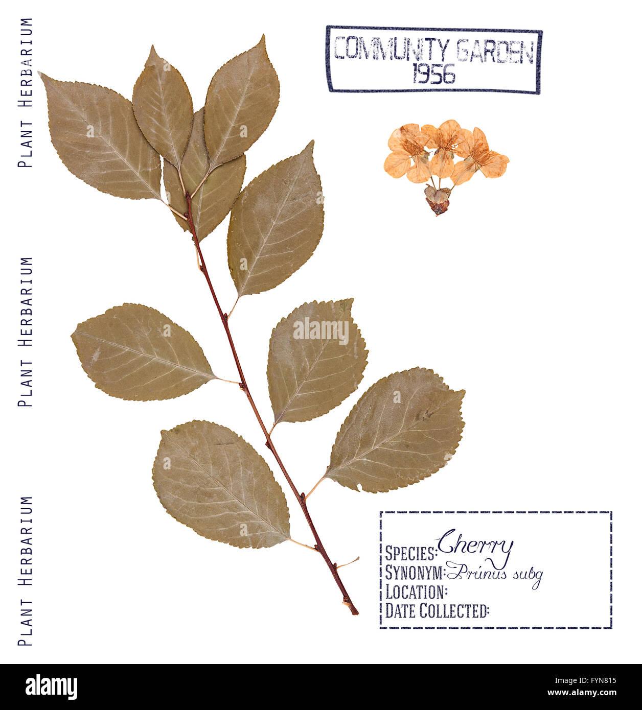 Herbarium Blätter herbarium pressteilen kirsche baum blätter stängel und blüten