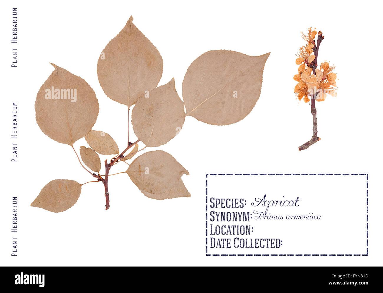 Herbarium Blätter herbarium pressteilen aprikose baum blätter zweige und baum