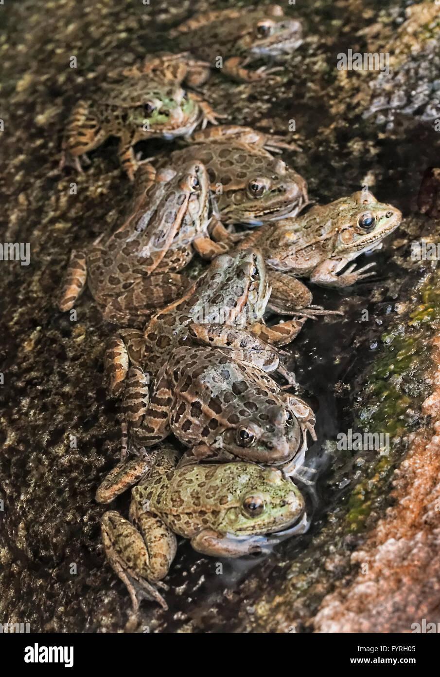 Tiefland Leopard Frosch (Rana Yavapaiensis) Männchen versammeln sich in der Zucht Becken an warmen sonnigen Stockbild