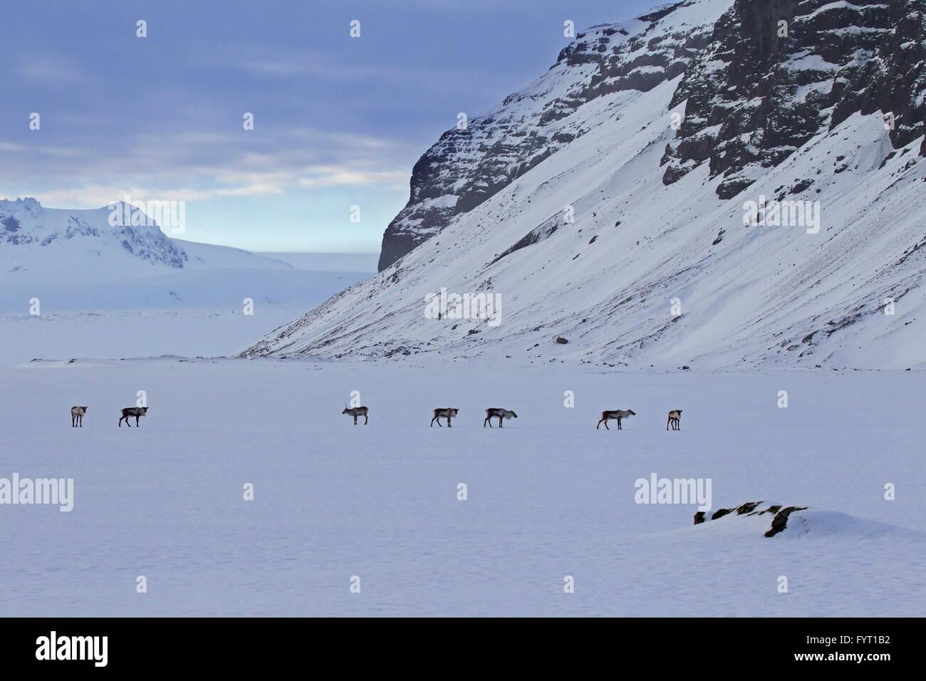 (Rangifer Tarandus) Rentierherde auf Nahrungssuche im Schnee bedeckt Winterlandschaft, Island Stockbild