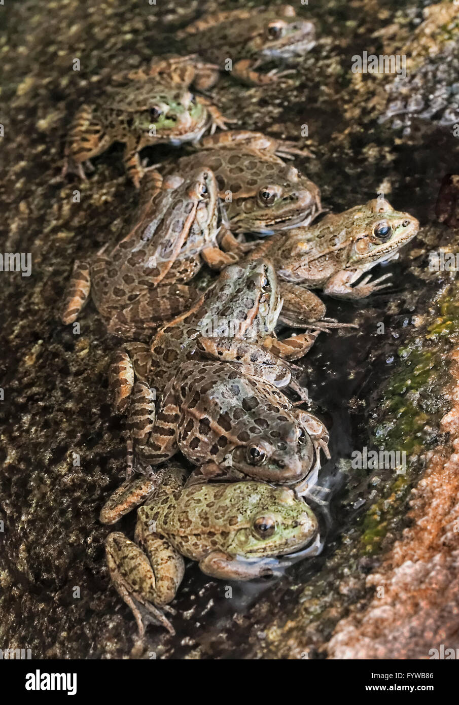Tiefland Leopard Frog sammeln (Rana Yavapaiensis) Rüden in der Zucht Becken an warmen sonnigen Tagen Stockbild