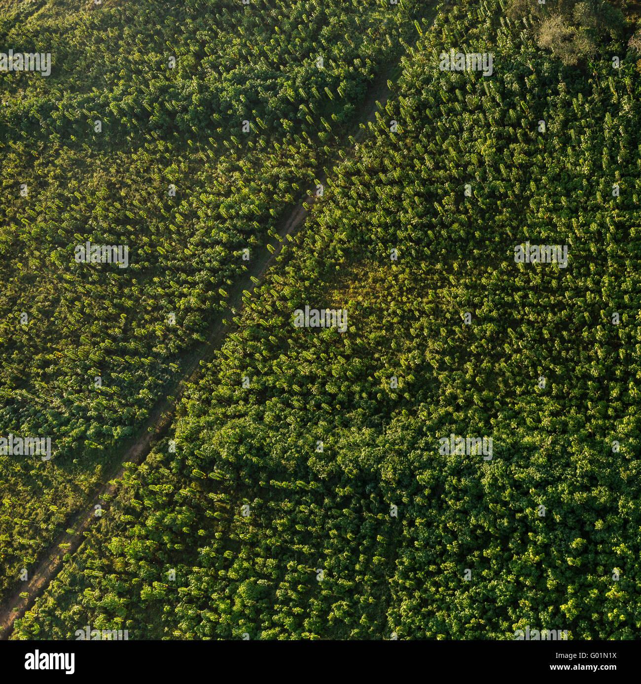 Die Halbinsel OSA, COSTA RICA - Luftaufnahmen von zwei Jahre alten Teakbäume auf nachhaltige Teak-Plantage in Puerto Stockfoto