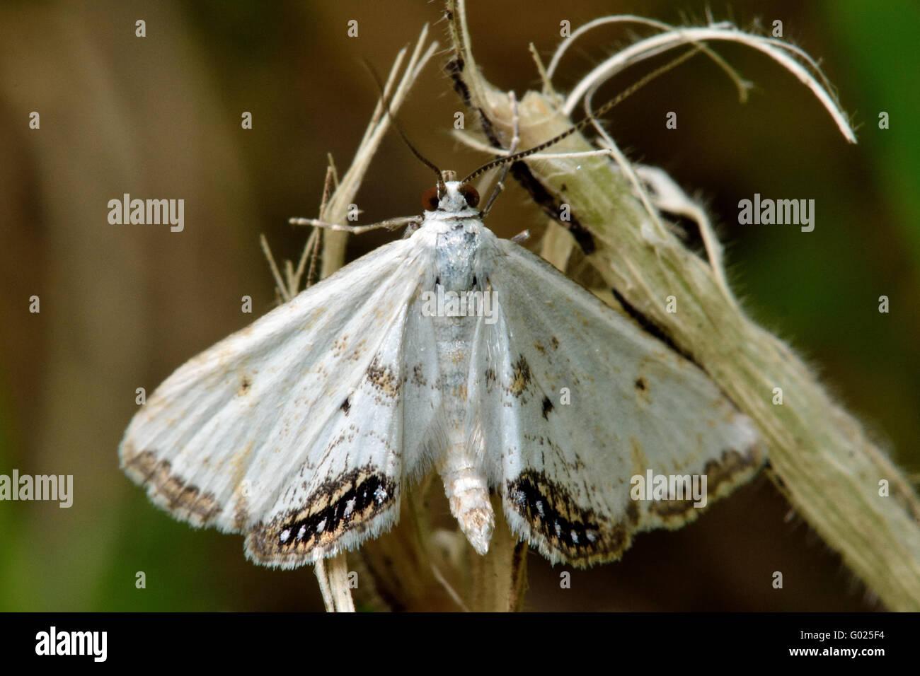 small white moth stockfotos small white moth bilder alamy. Black Bedroom Furniture Sets. Home Design Ideas