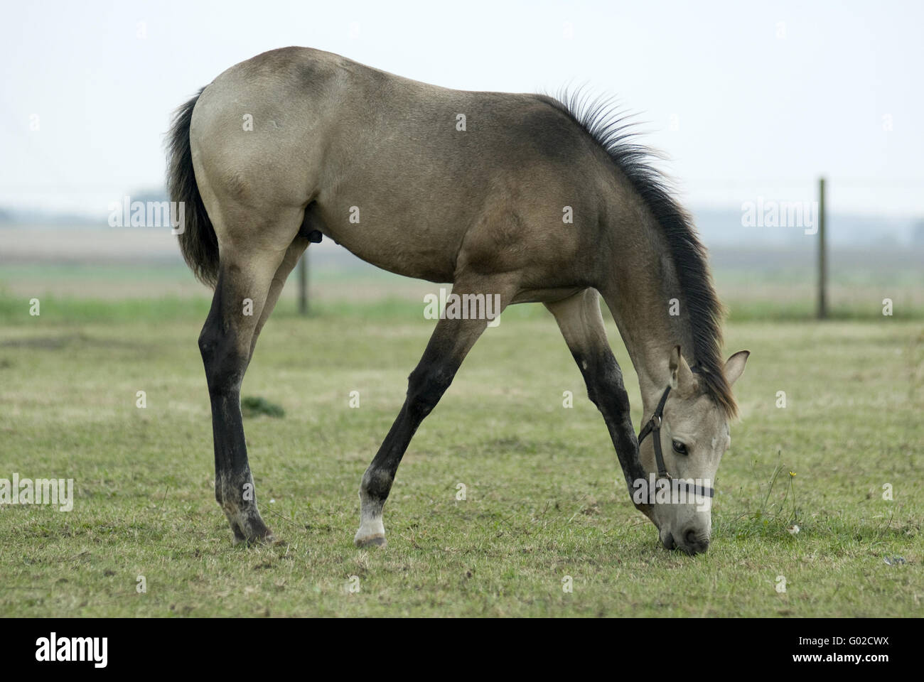 Quarter Horse Mix Stockfotos & Quarter Horse Mix Bilder - Alamy
