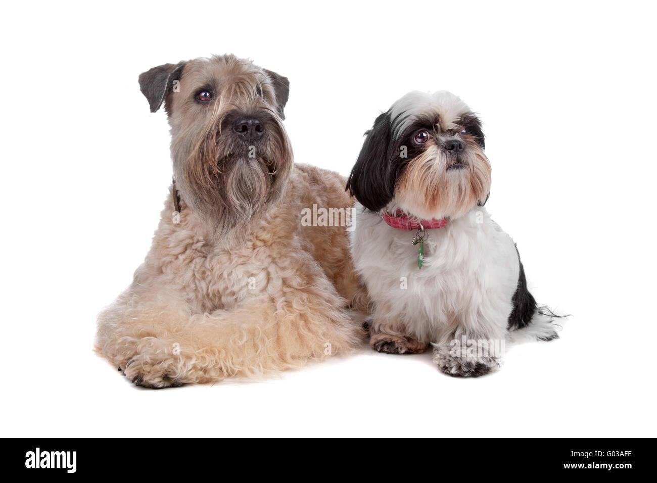 Shih Tzu Terrier Stockfotos Shih Tzu Terrier Bilder Alamy