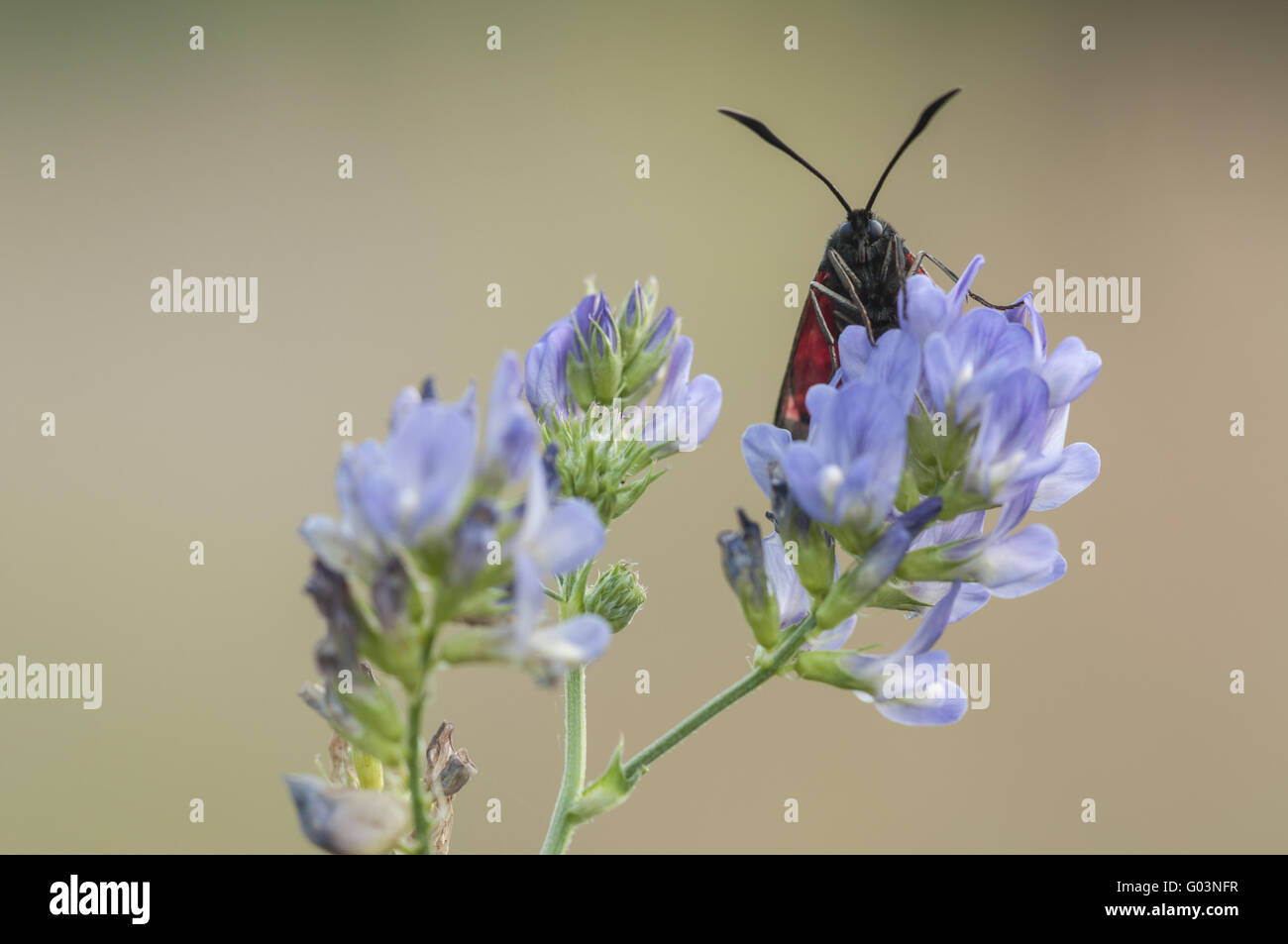 Sechs-Spot Burnet (Zygaena Filipendulae), Deutschland Stockbild