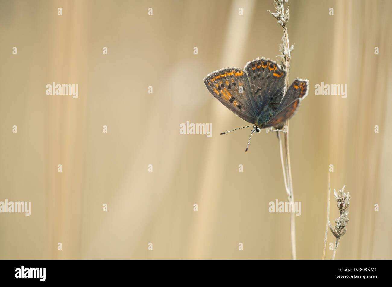 Rußiger Kupfer (Lycaena Tityrus), Weiblich, Deutschland Stockbild