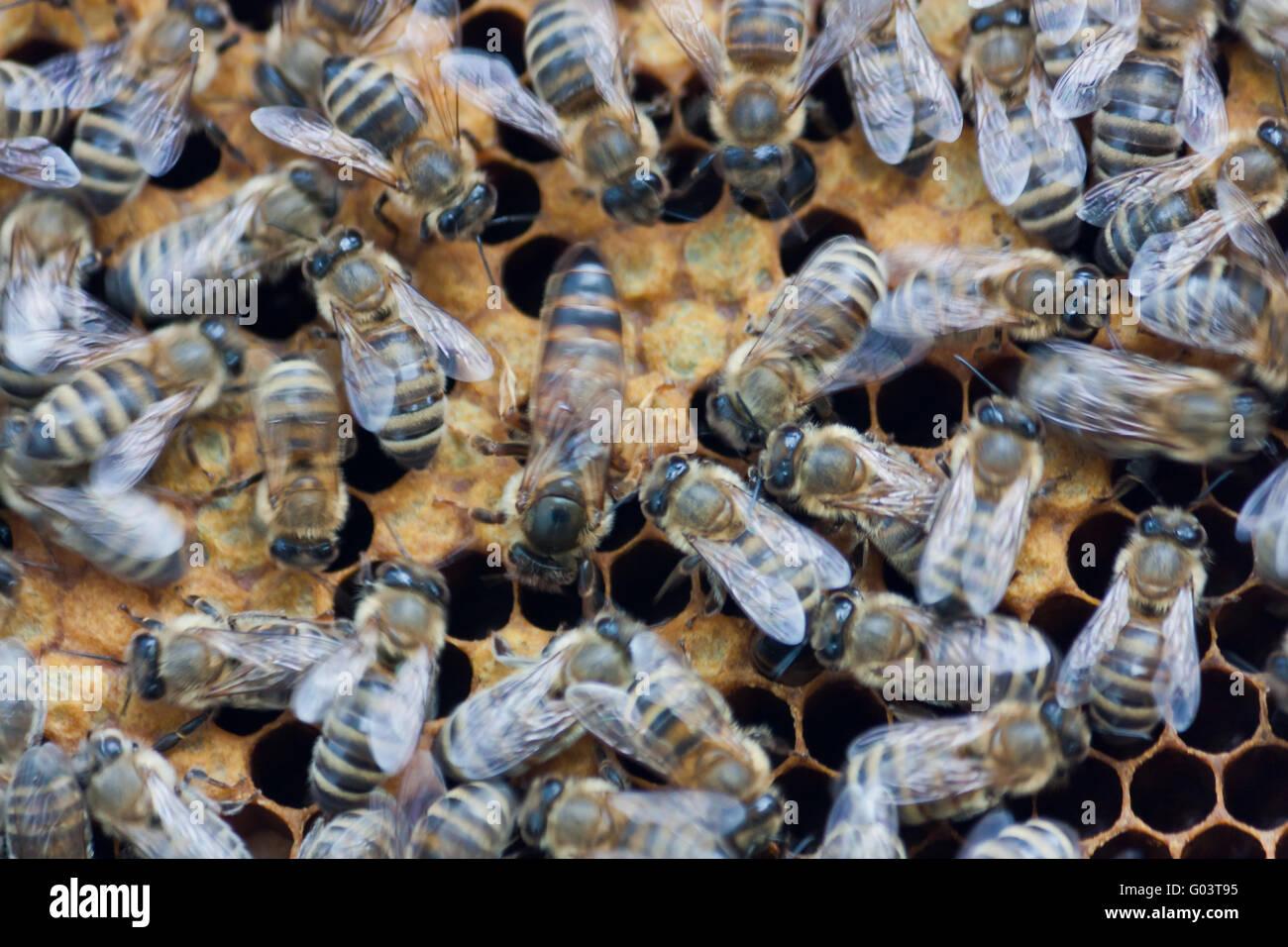 Bienen Königin Stockfotos & Bienen Königin Bilder - Alamy