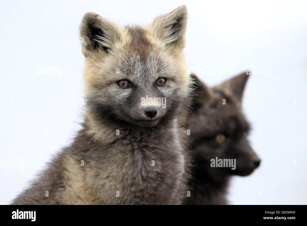 Silber Phase Red Fox Silberfuchs Stockbild