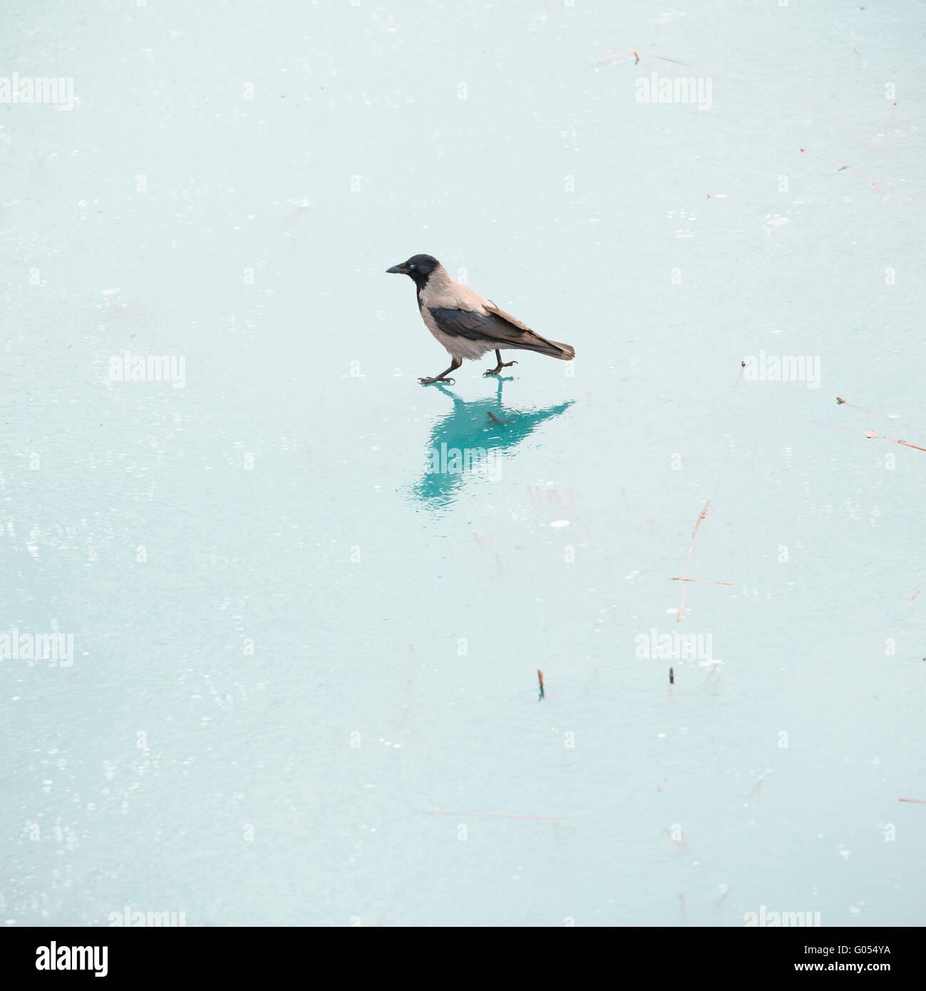 Crow am zugefrorenen See zu Fuß. Ein einsamer Vogel bewältigen Winter auf der Suche nach Nahrung auf dem Stockbild