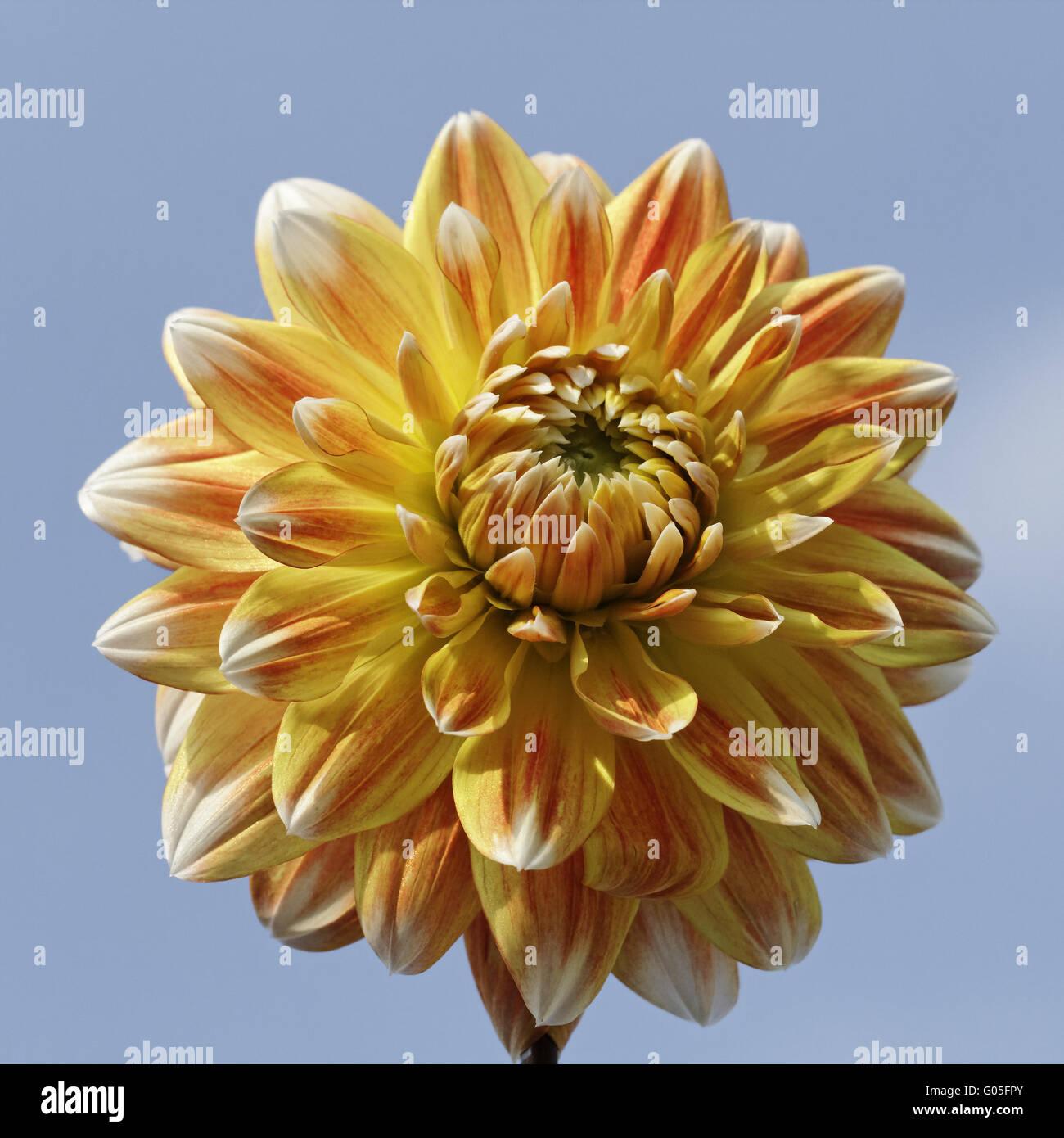"""Dahlie """"Pfirsiche und Sahne"""", dekorative Dahlie Stockfoto"""