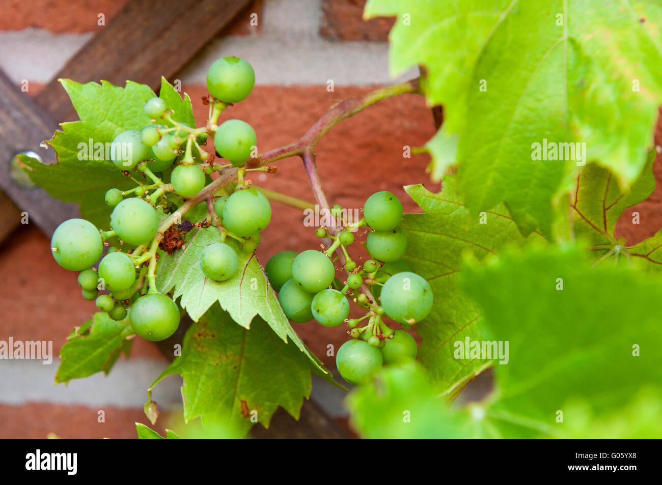 köstlichen biologischen Trauben wachsen auf den Hinterhof Gartenmauer (keine Chemikalien) Stockbild