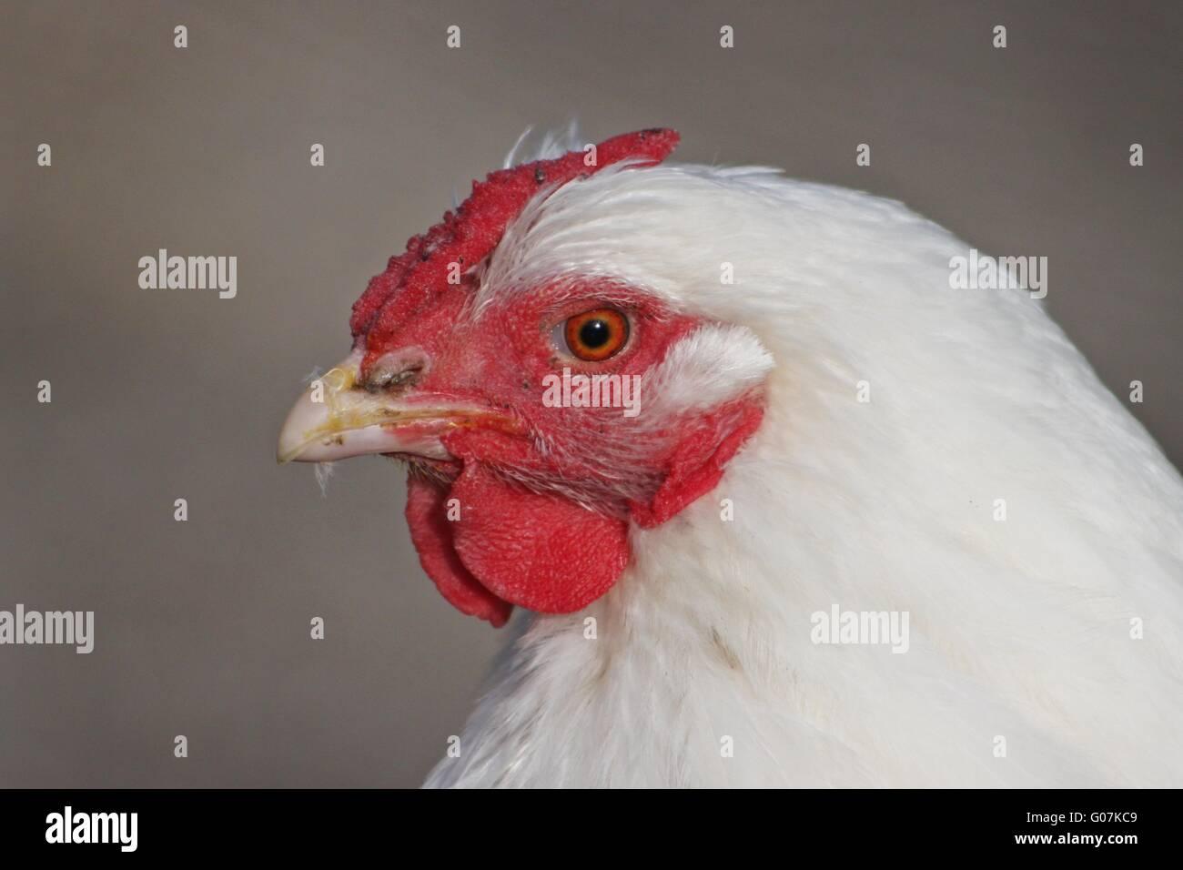 Huhn Stockbild