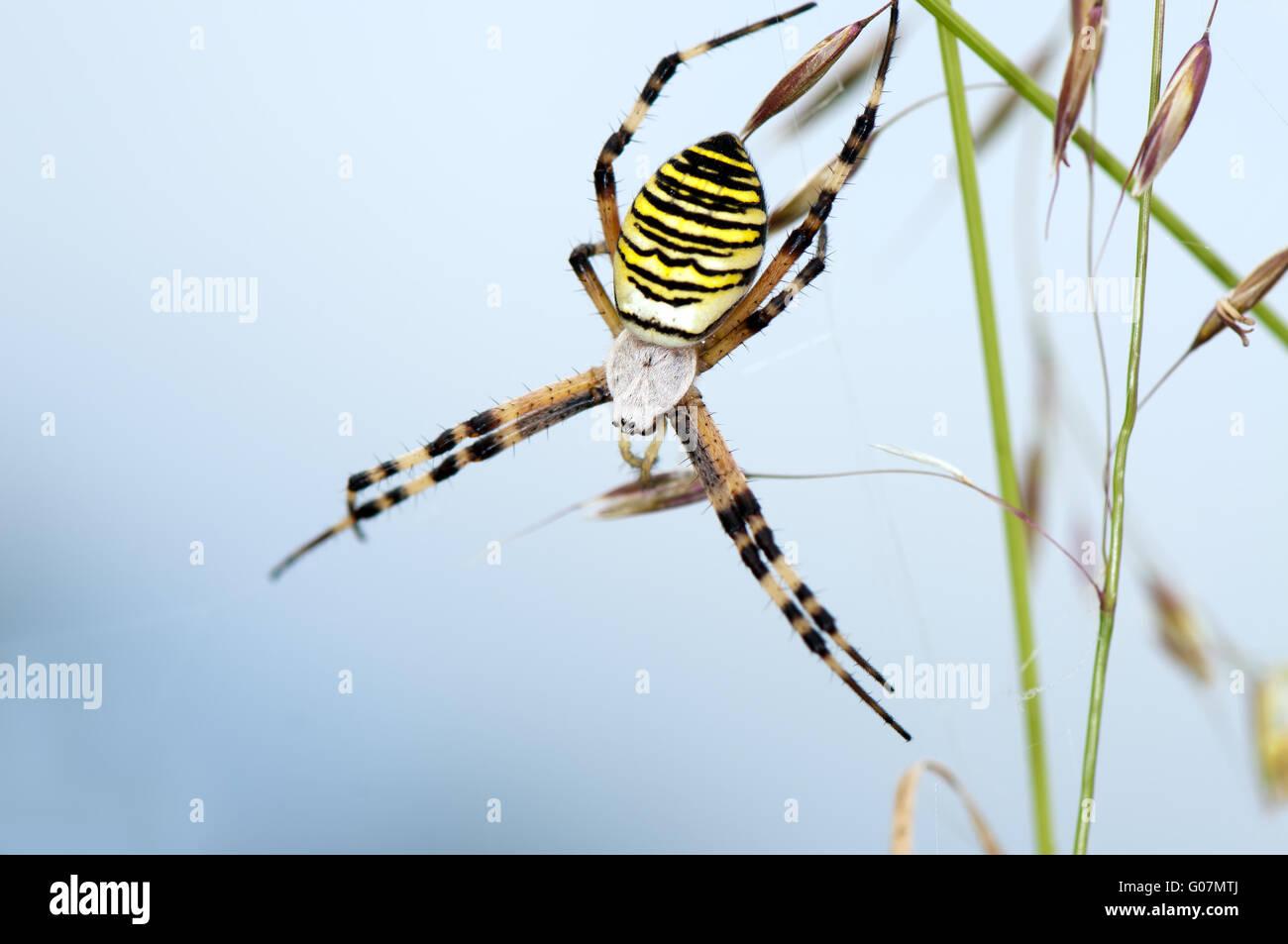 Wasp spider Stockbild