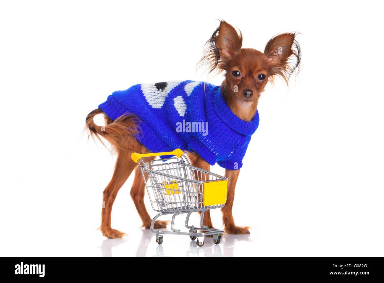 Toy Terrier mit Warenkorb isoliert auf weiss. Stockfoto