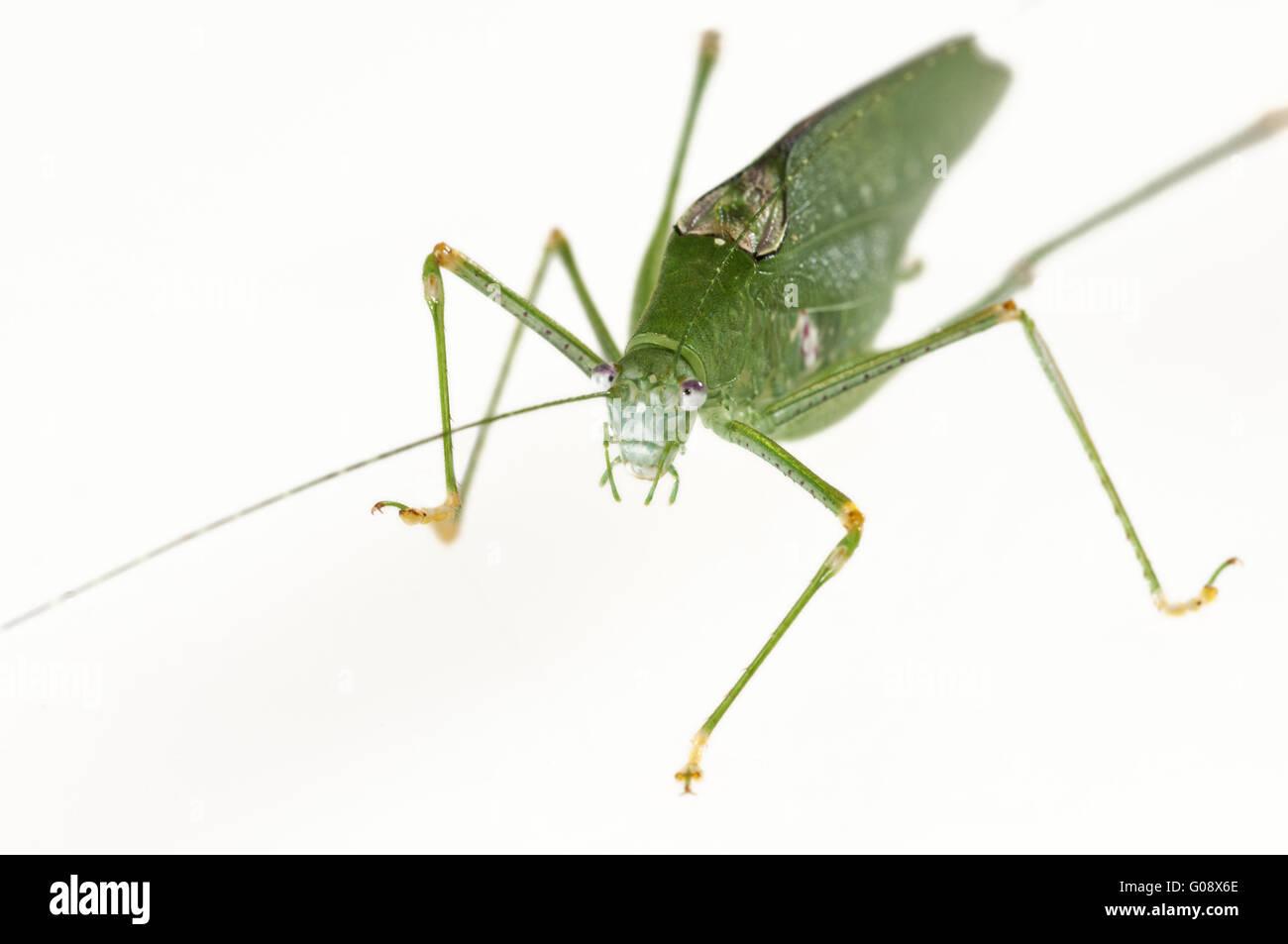 Grün gefärbte Variante des eine länglich-Winged Grashuepfer Stockbild