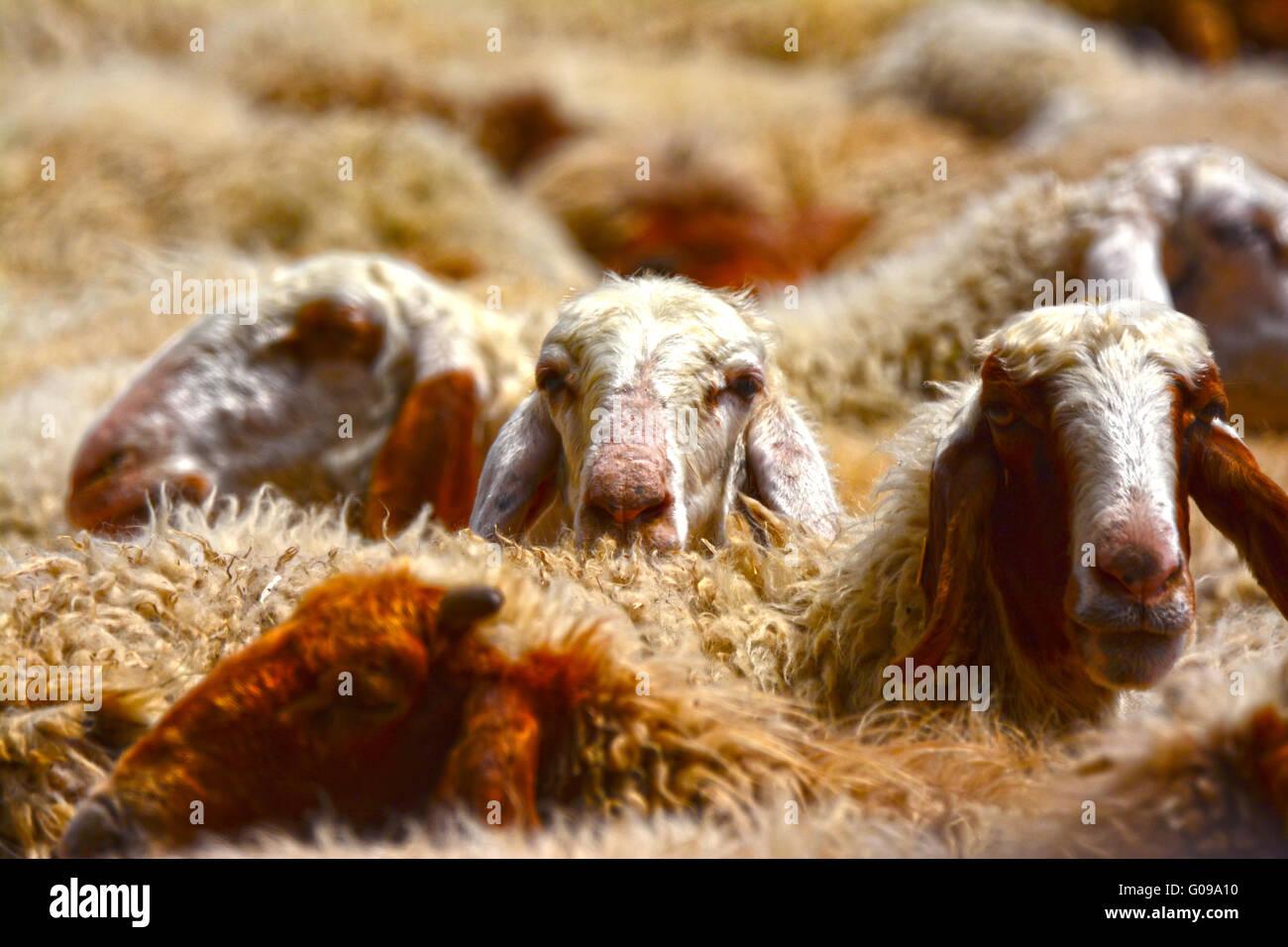 Herde Schafe schließen sich Stockbild