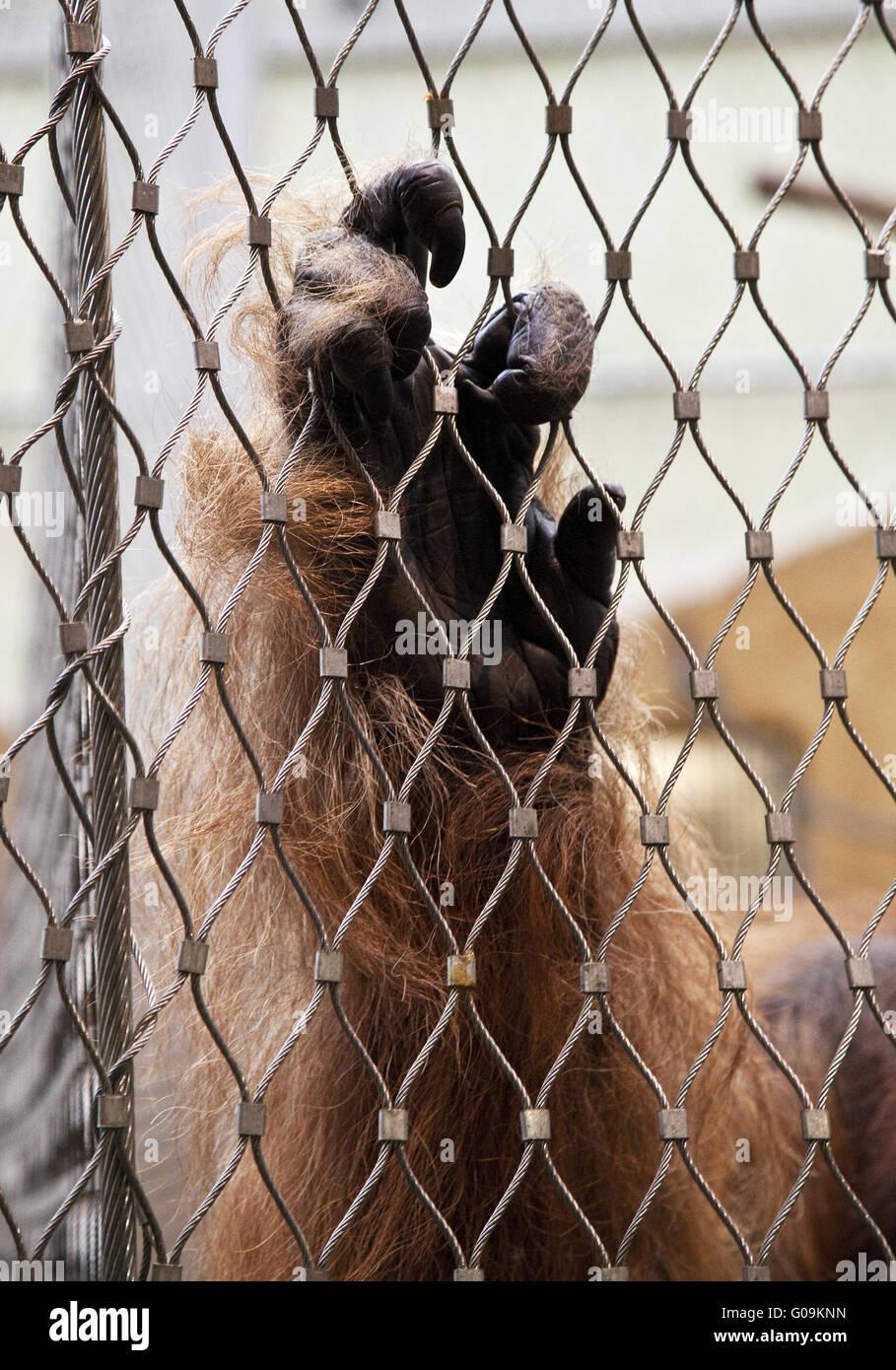Hand eines Gorillas im Zoo, Dortmund, Deutschland. Stockbild