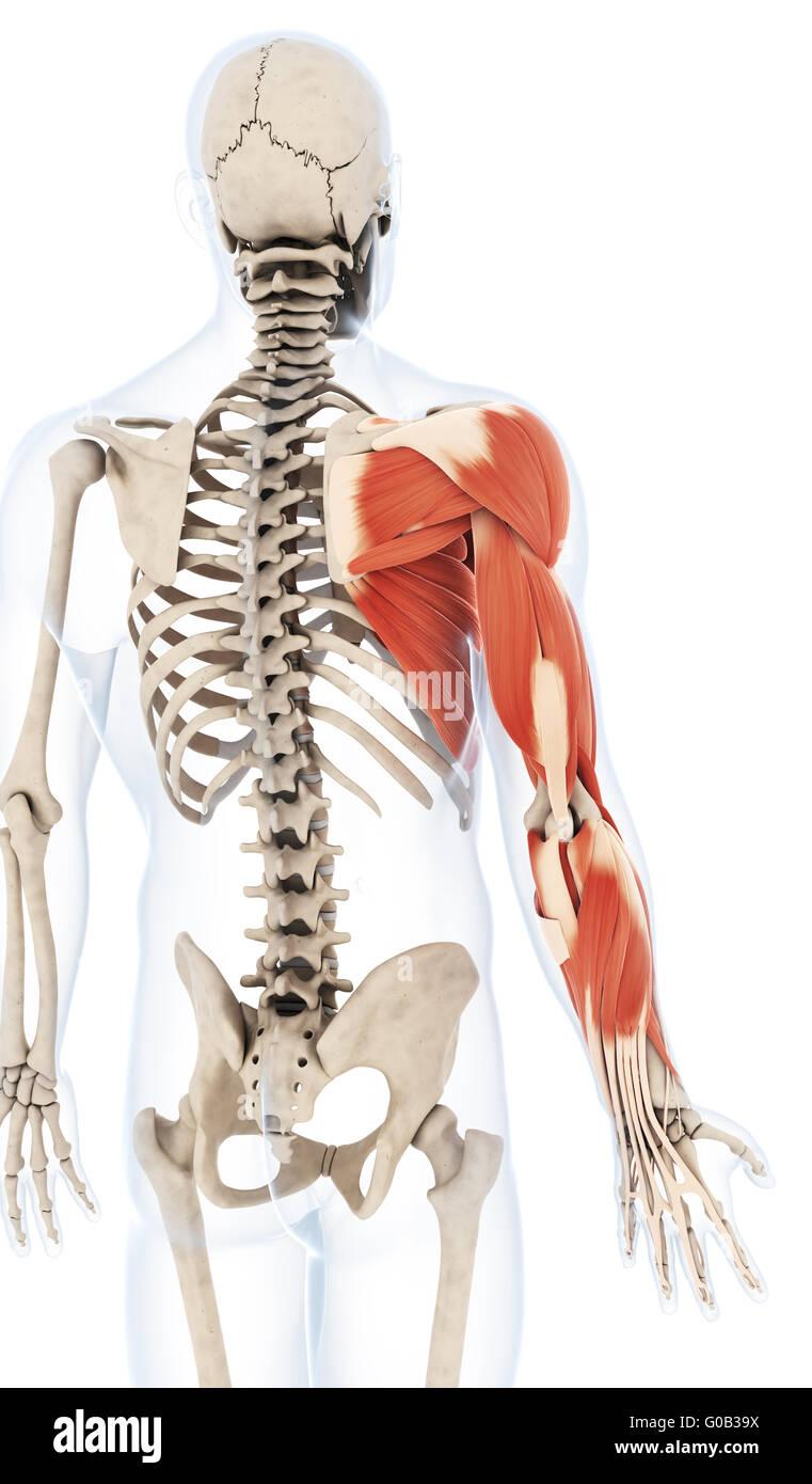 Großartig Anatomie Des Armes Und Der Schulter Ideen - Anatomie Von ...